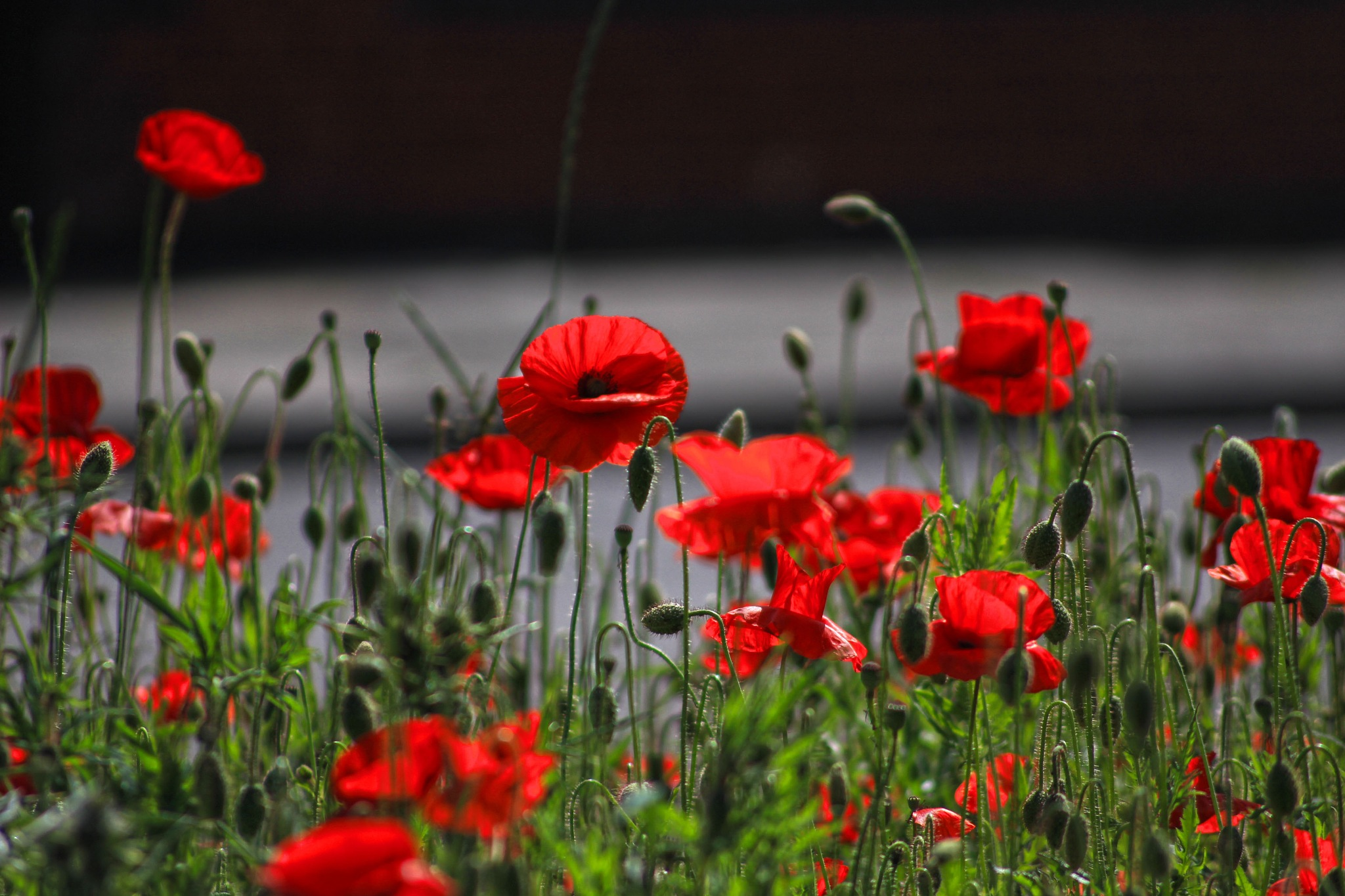 Where Wild Poppies Grow by Mark Pemberton