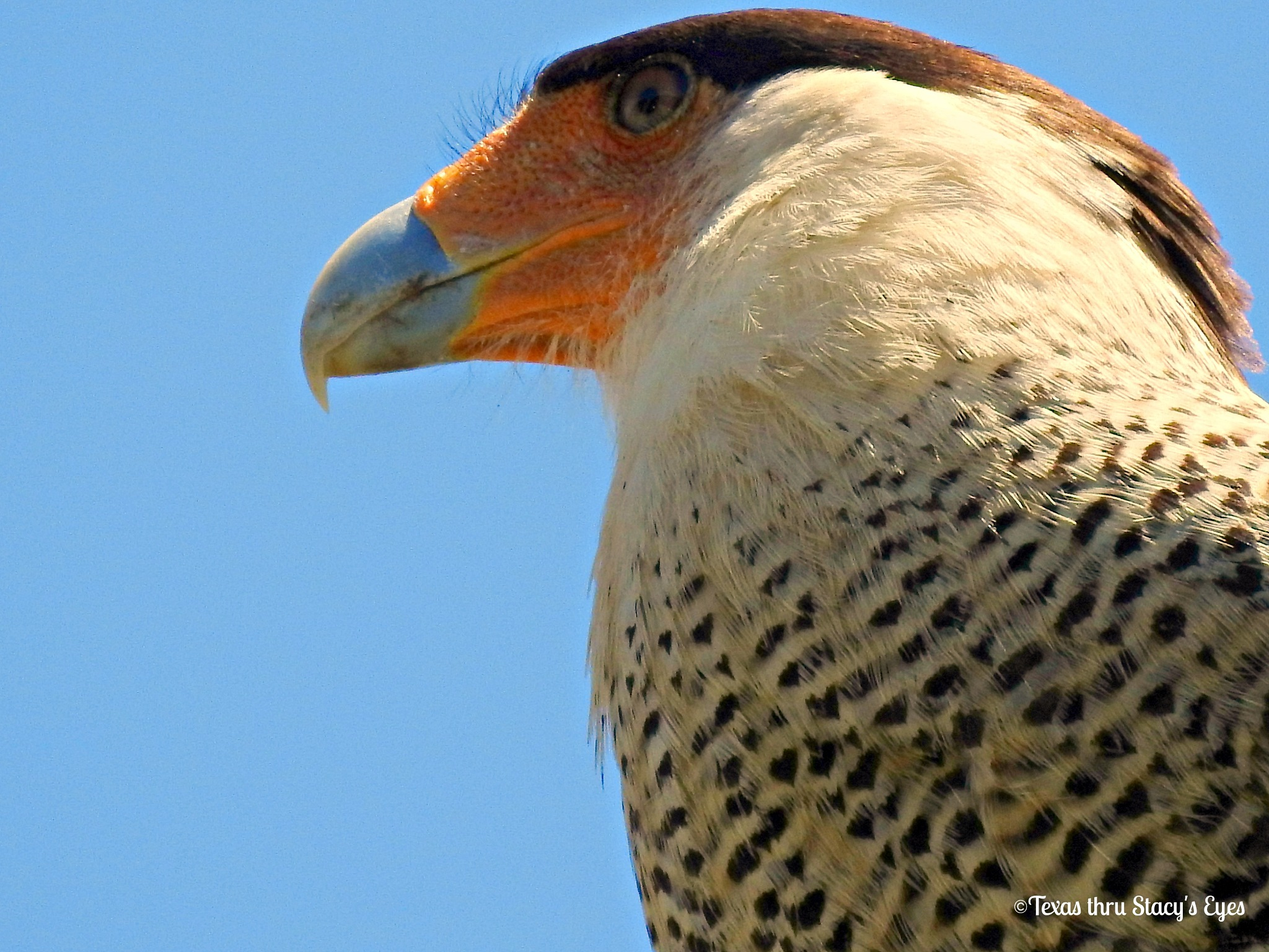 Northern Crested Caracara by Stacy O'Donnell