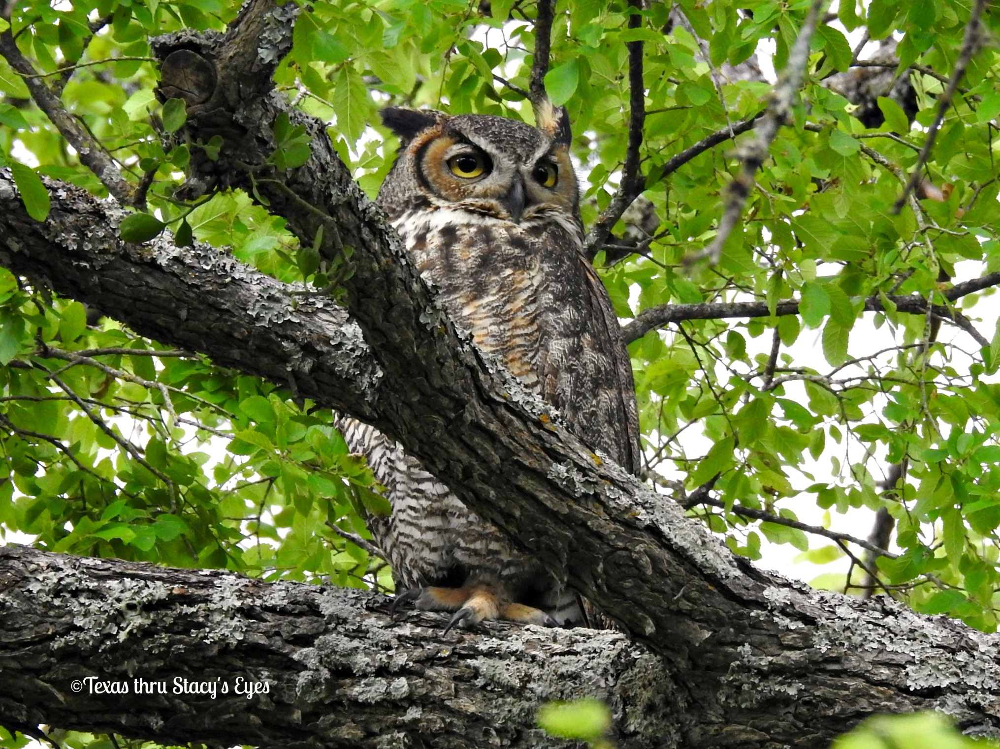 Great-horned Owl by Stacy O'Donnell