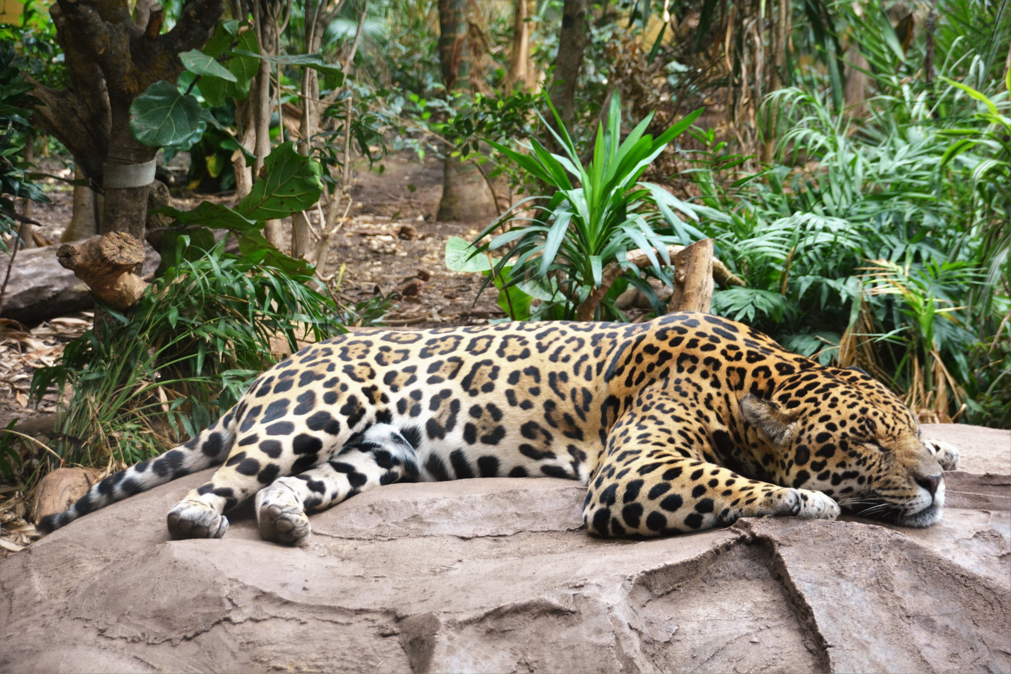 jaguar chester zoo  by Sam