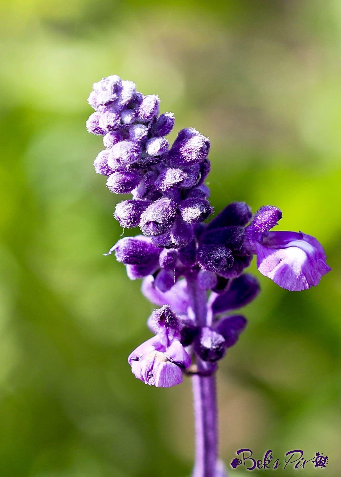Gorgeous fuzzy purple bloom by Becky Dewey