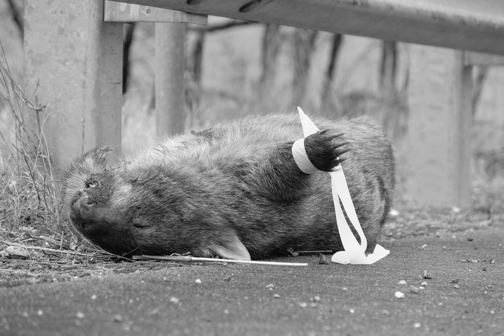 Wombat by JamesFrancis