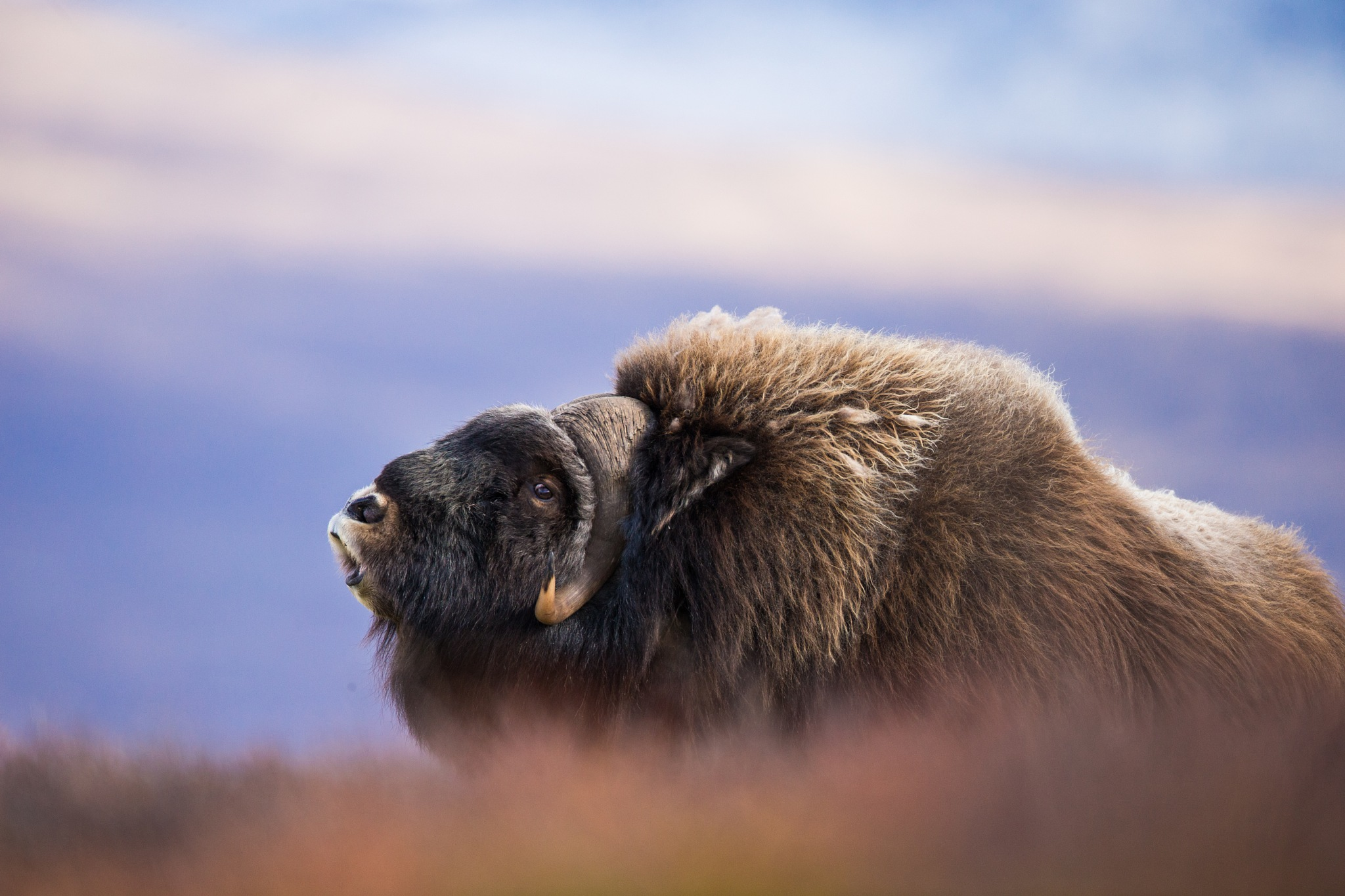 Musk ox 2 by Roger Indgul