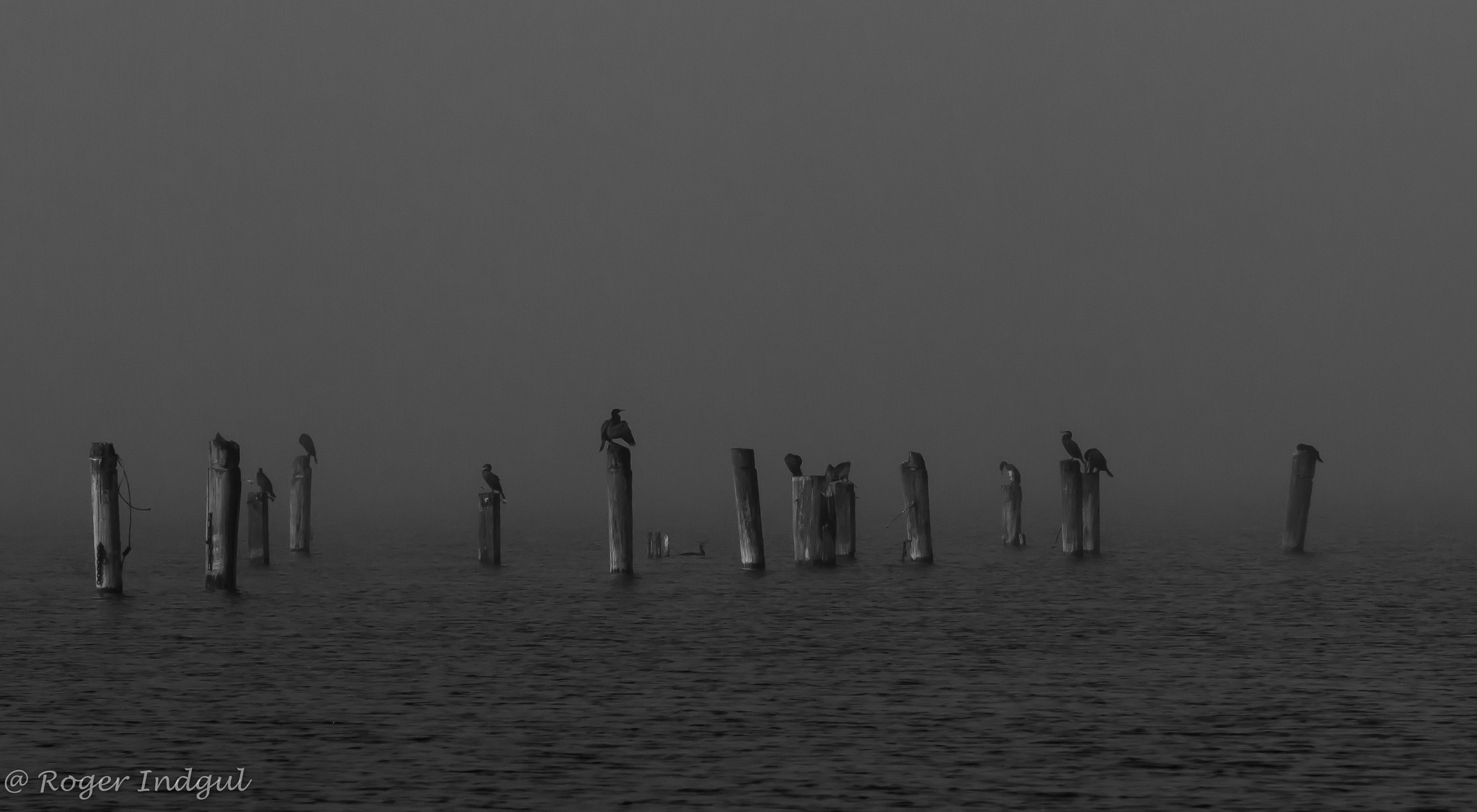 Seabirds in the fog by Roger Indgul