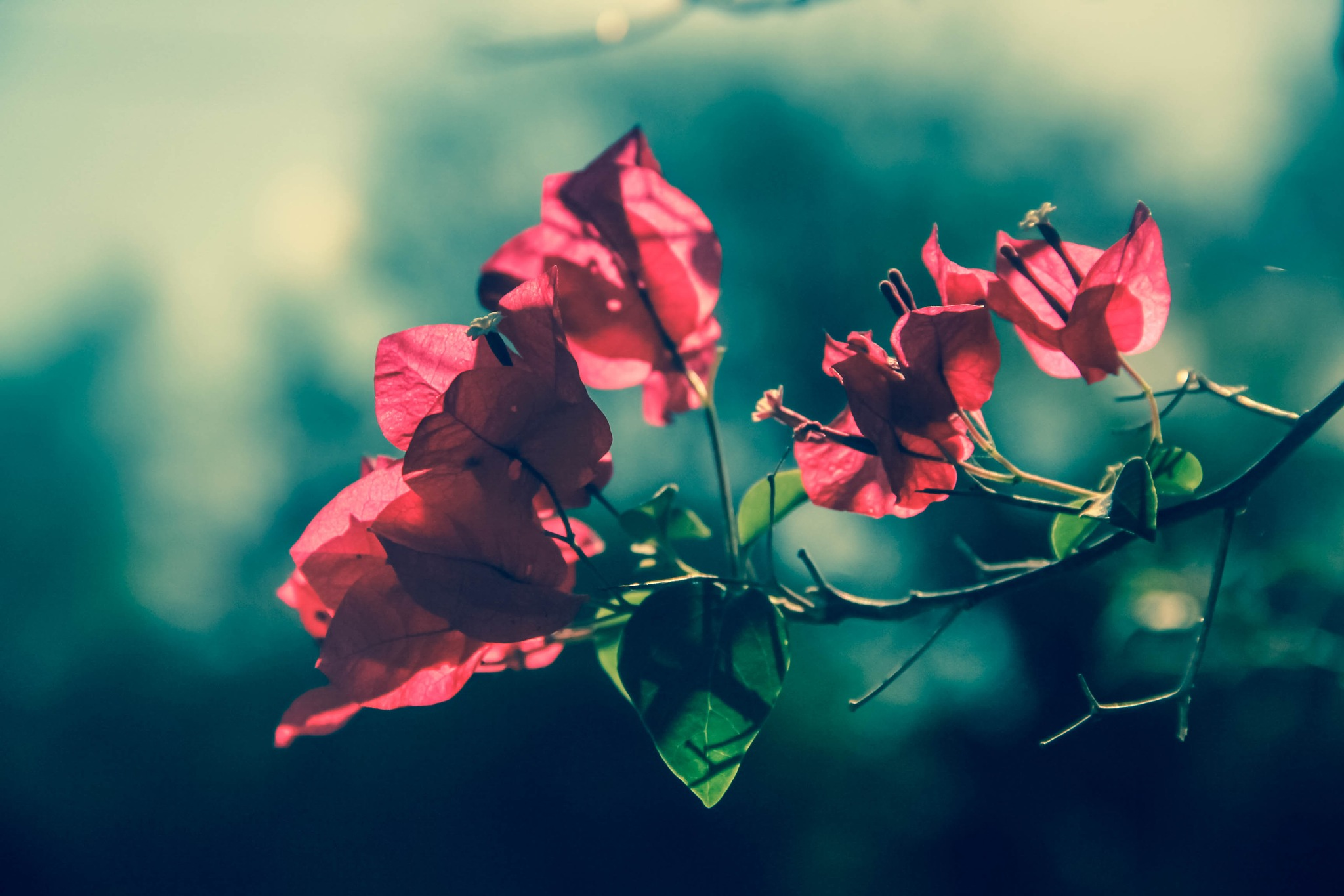 Bougainvilleas by ThroughMyLens