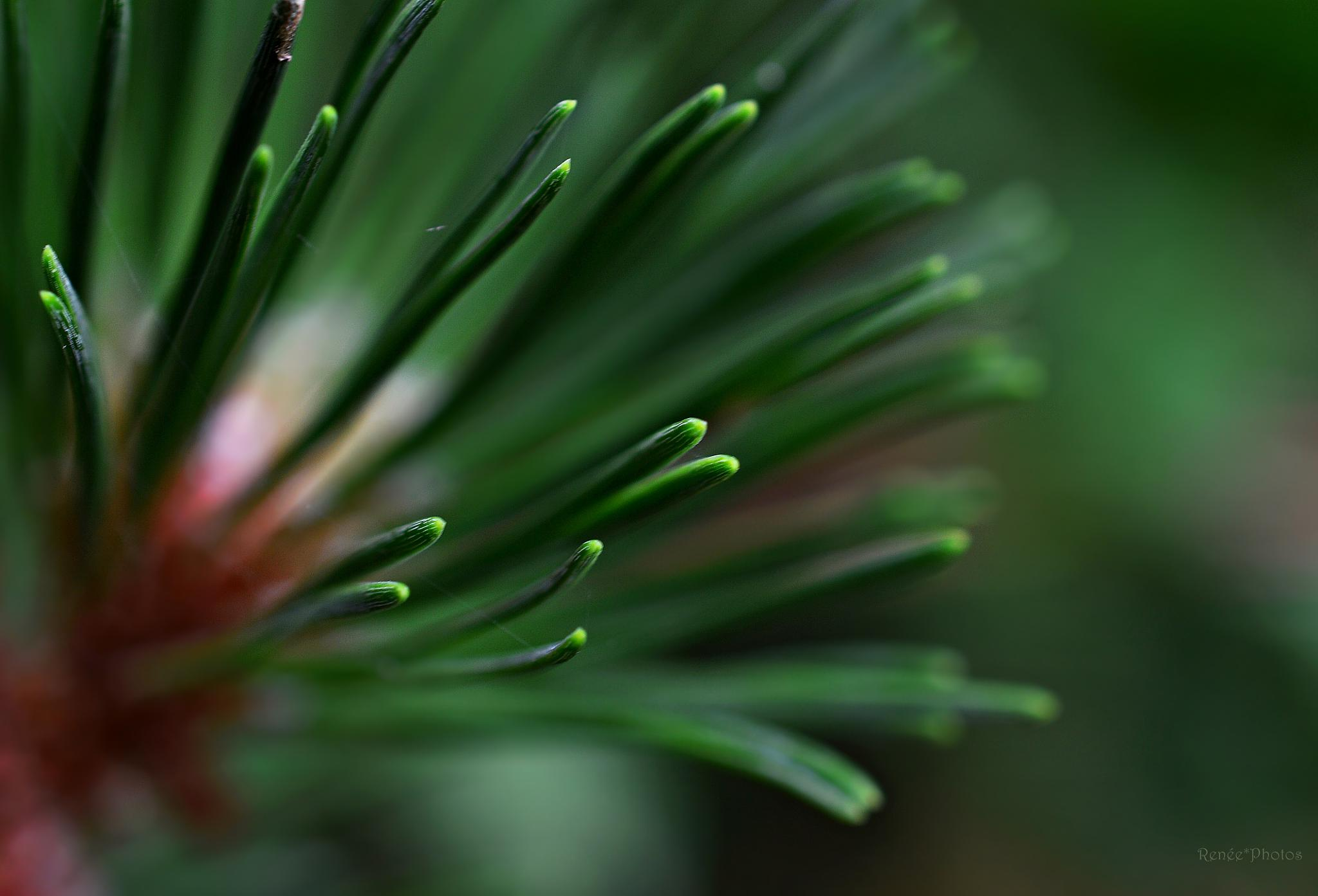 Pine by Renée Köhler