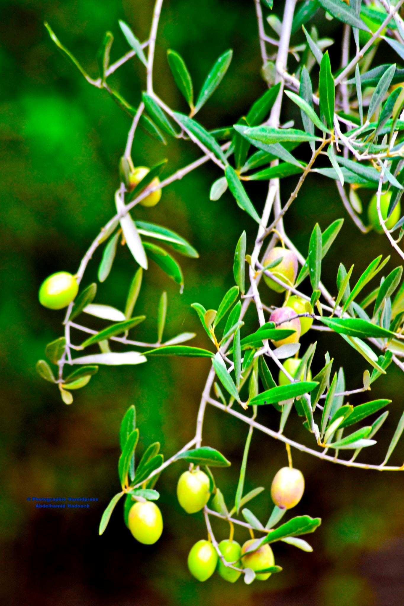 Les olives  by Abdelhamid Hadouch