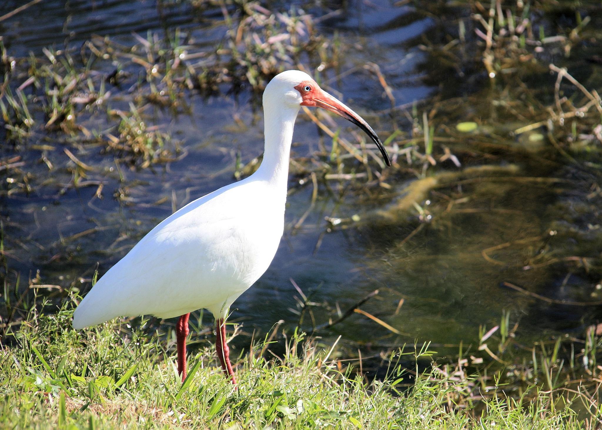 White Ibis - Orlando Florida USA by Dan Loran