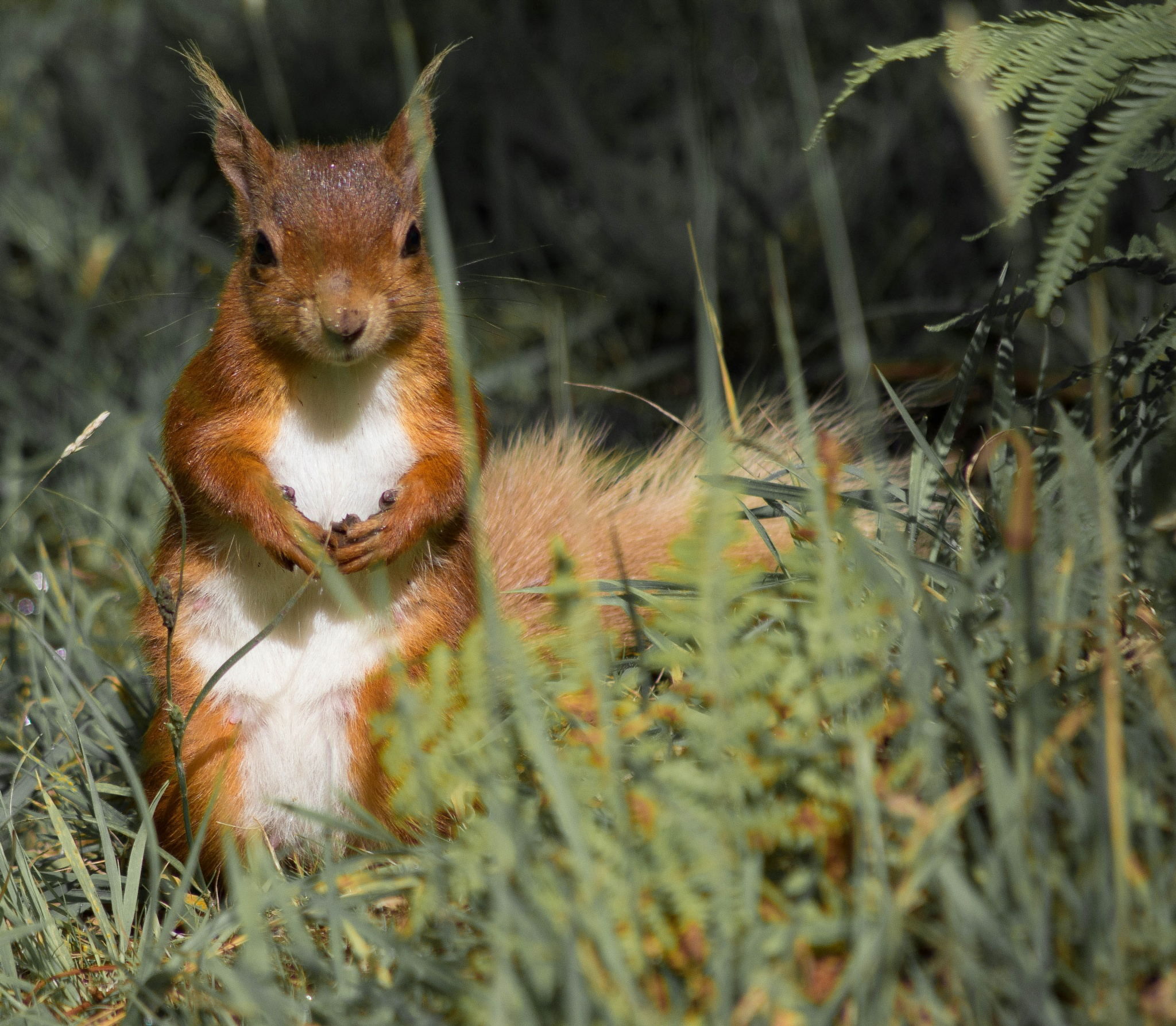 Red Squirrel Brownsea Island by Gary Capstick