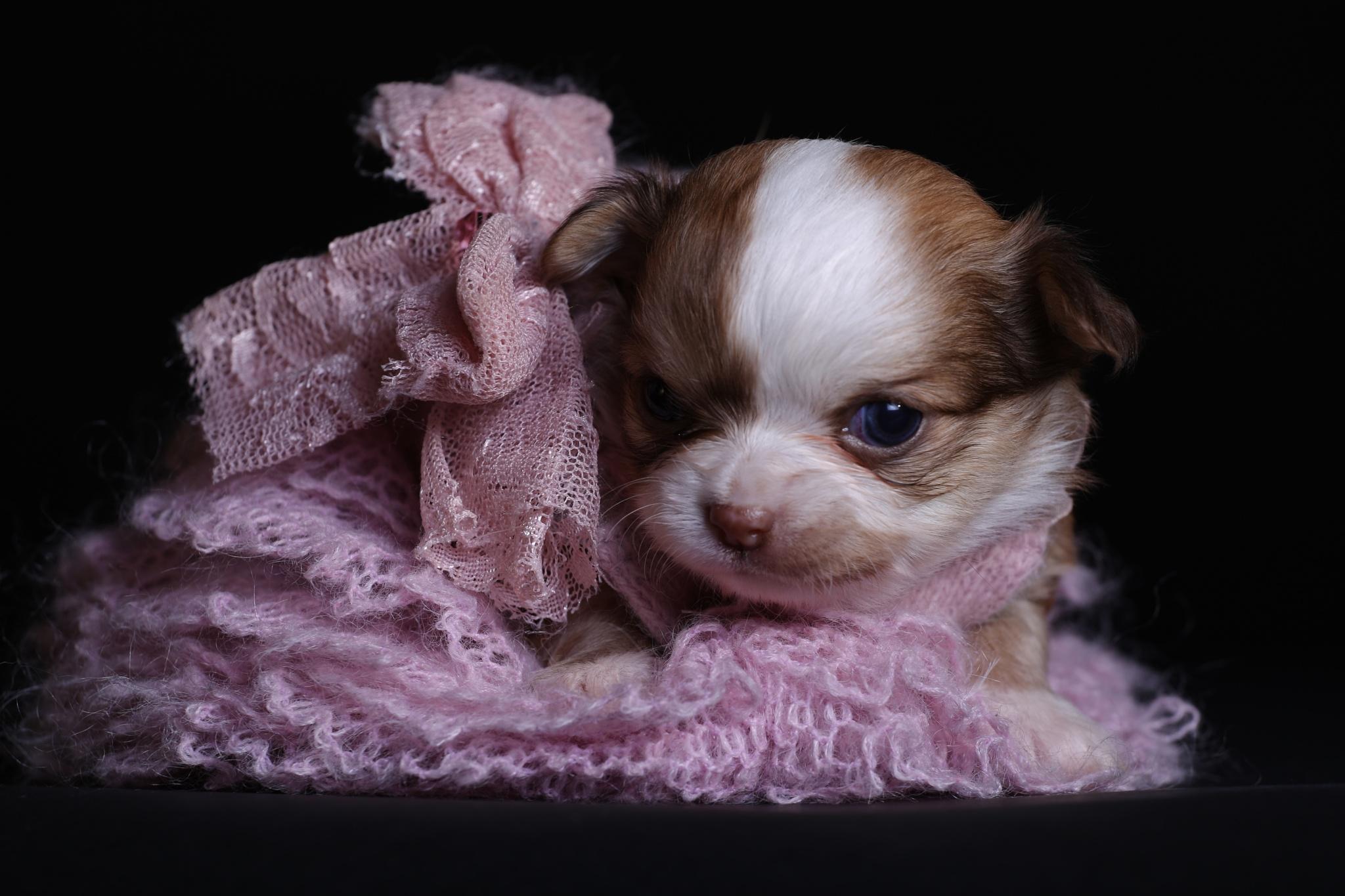 bébé chihuahua by aurelie