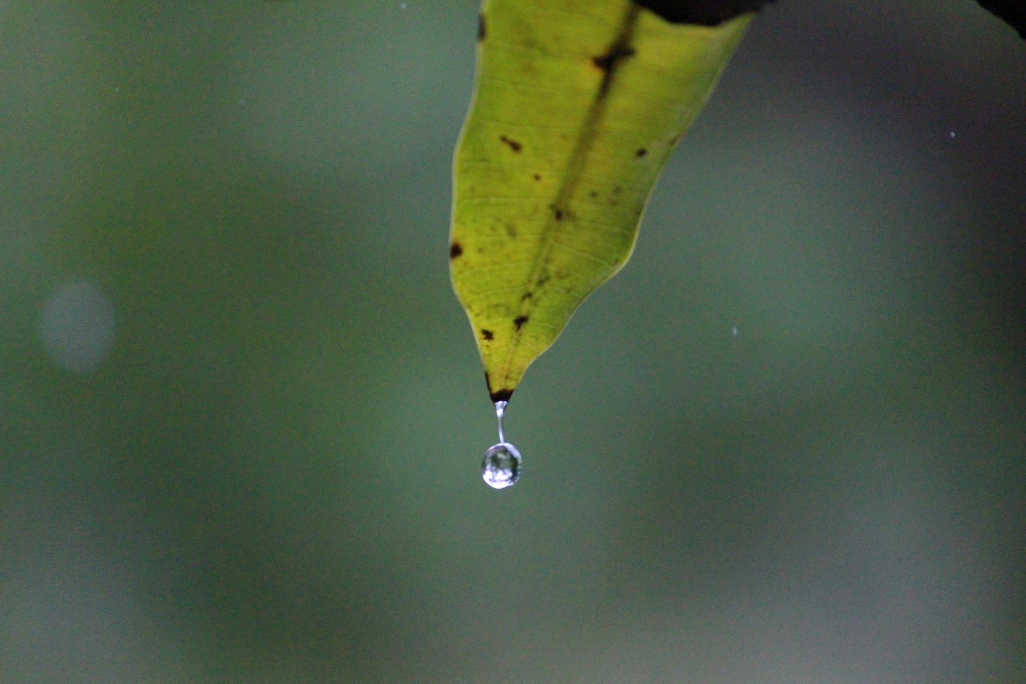 Leaf N raindrop  by Kiran Basu