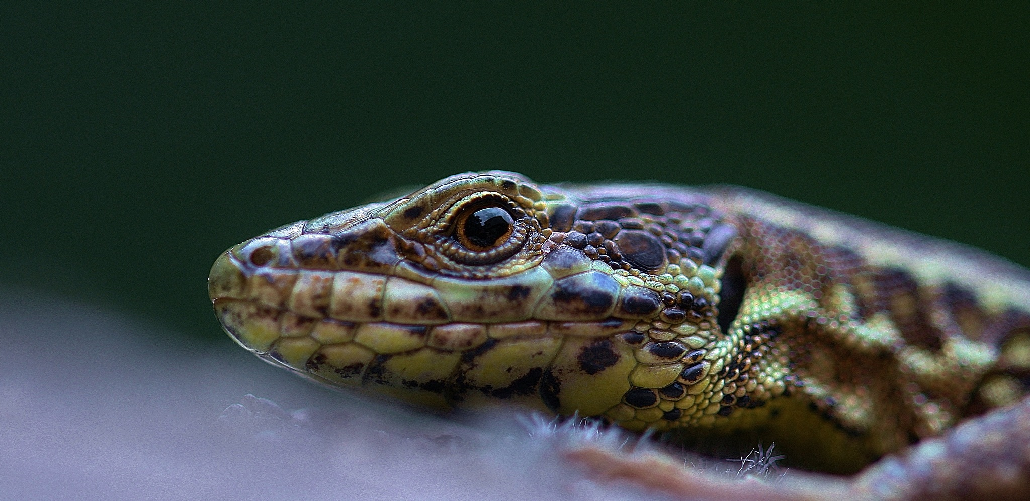 lizard by Paolo Calò photography