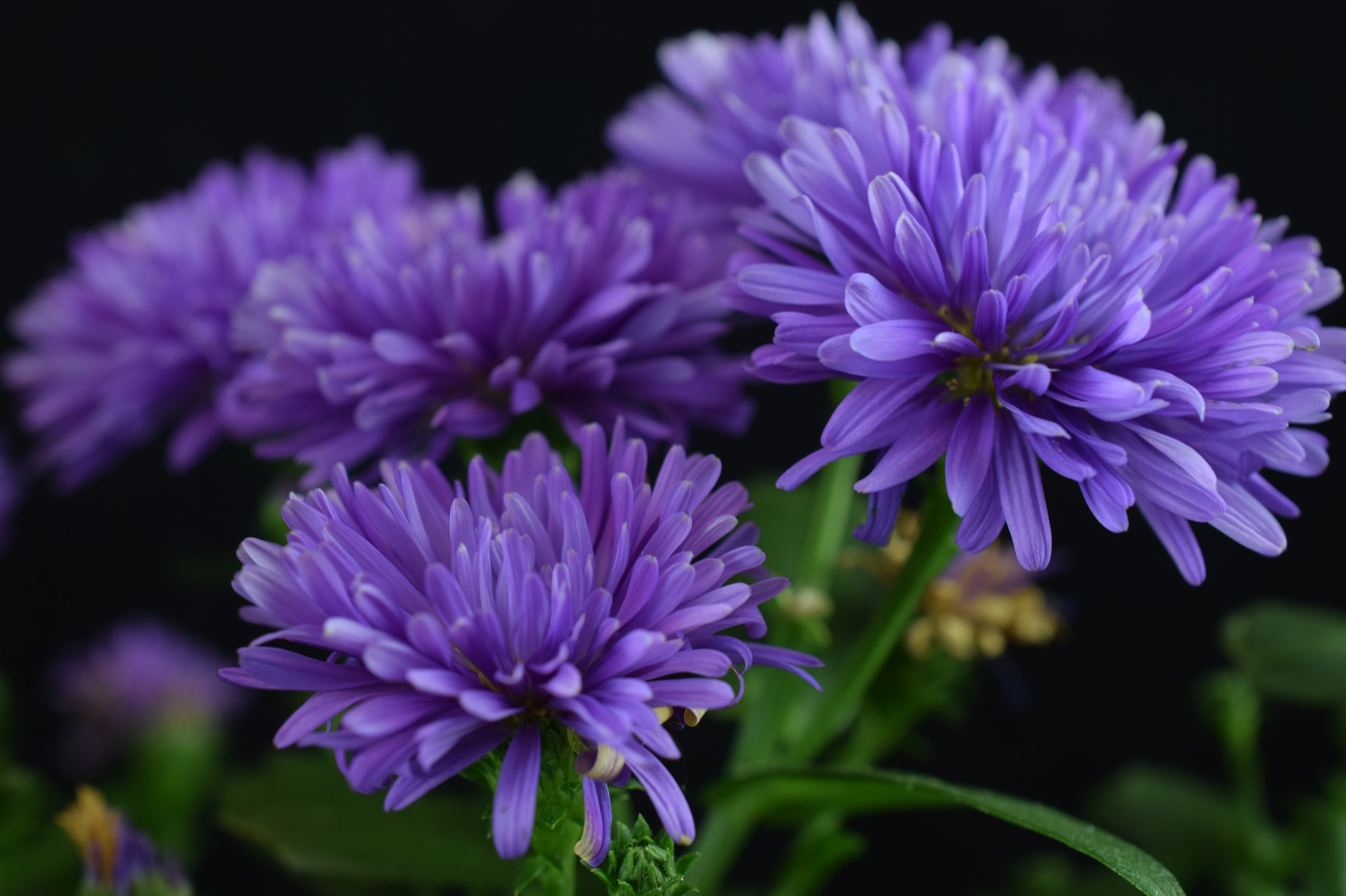 Aster victoria flowers by Theresia Buskas