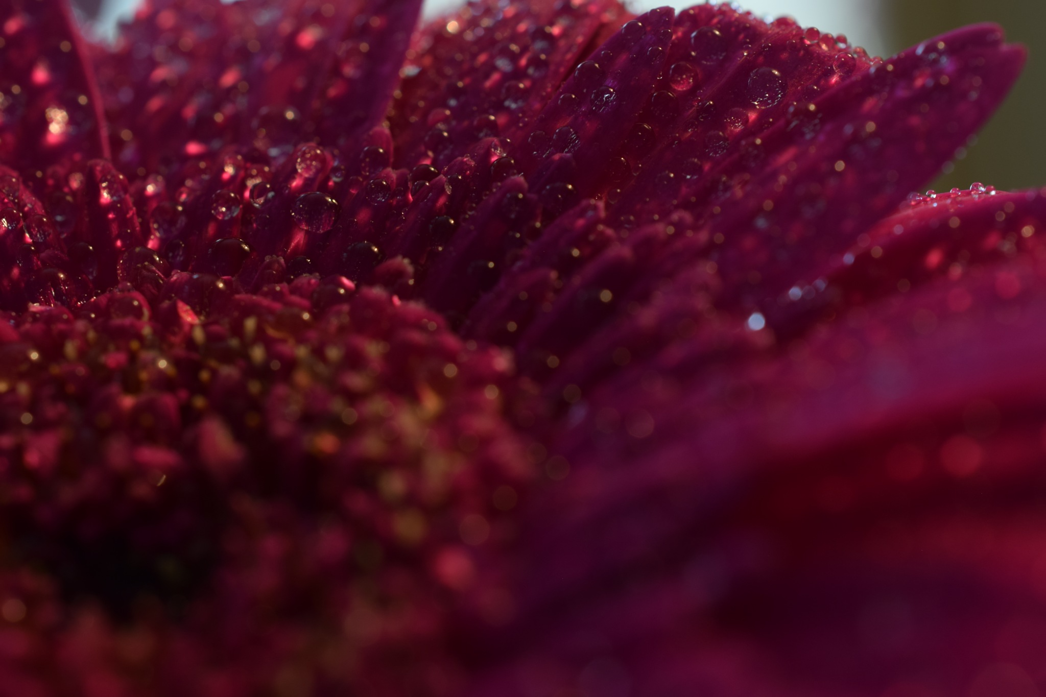Droplets on germini flower by Theresia Buskas