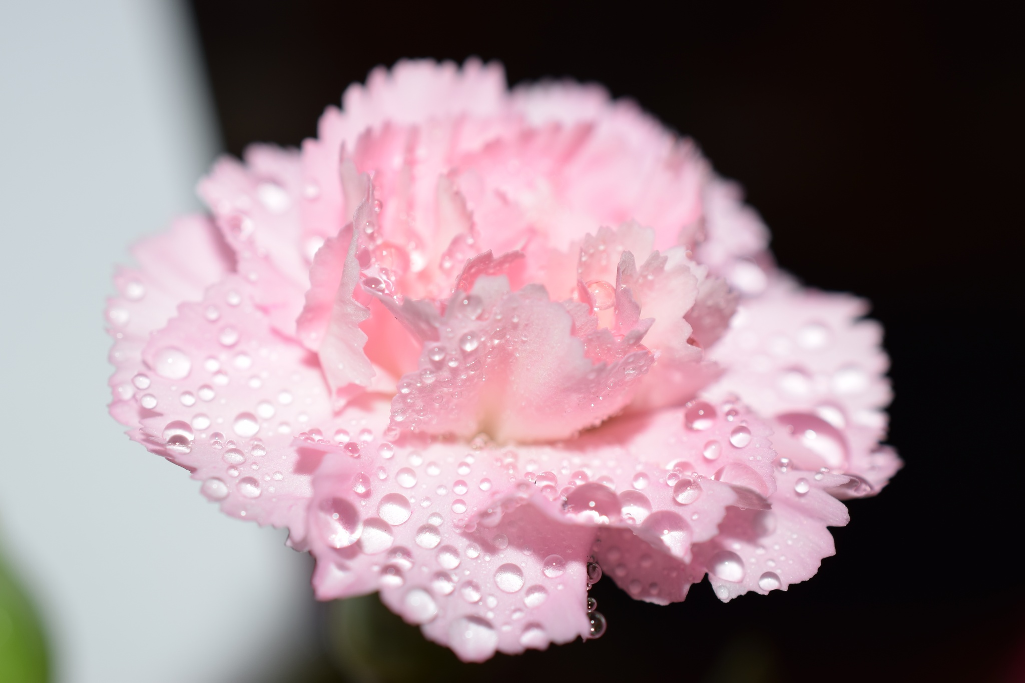 pink flower by Theresia Buskas