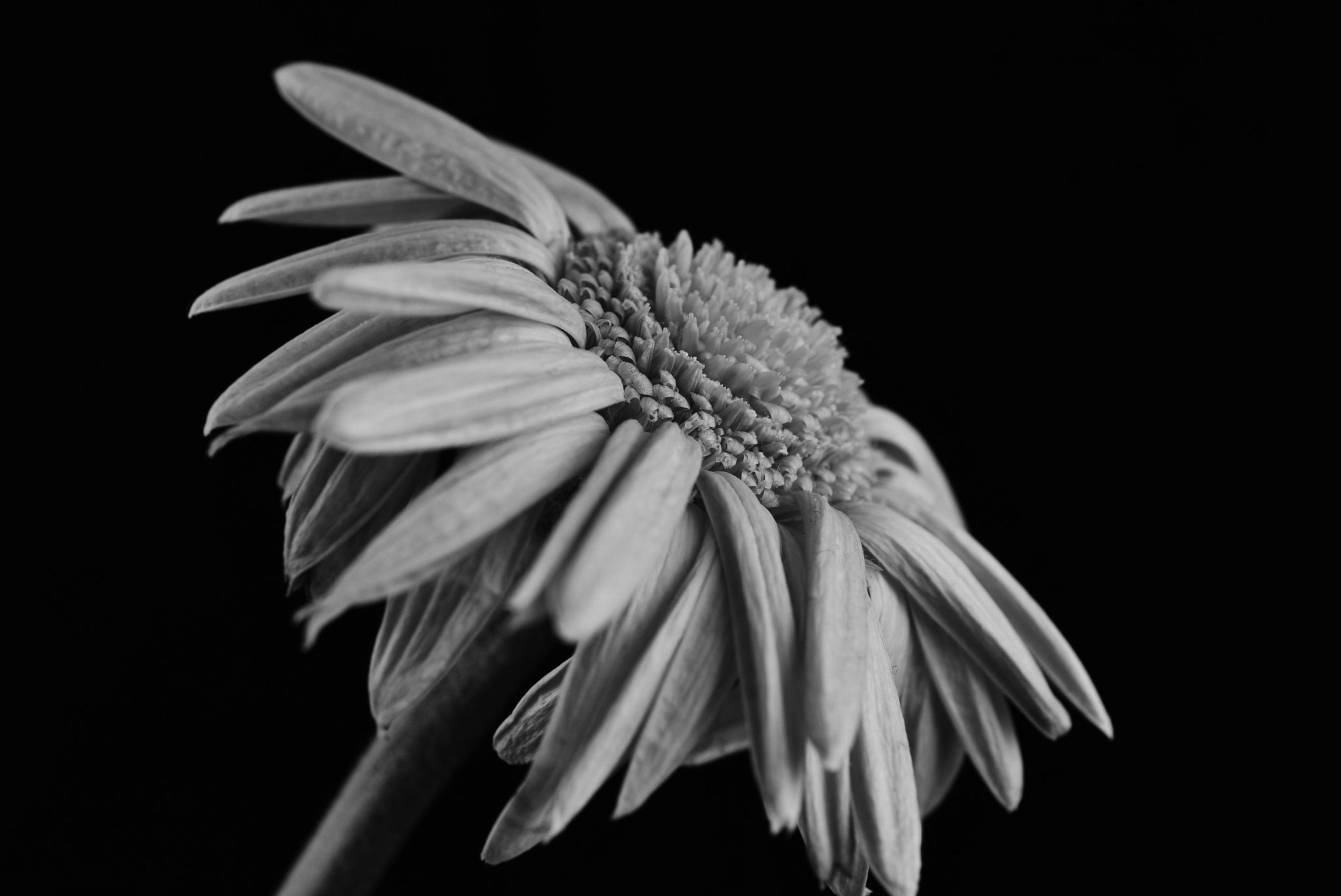 Germini flower B&W by Theresia Buskas