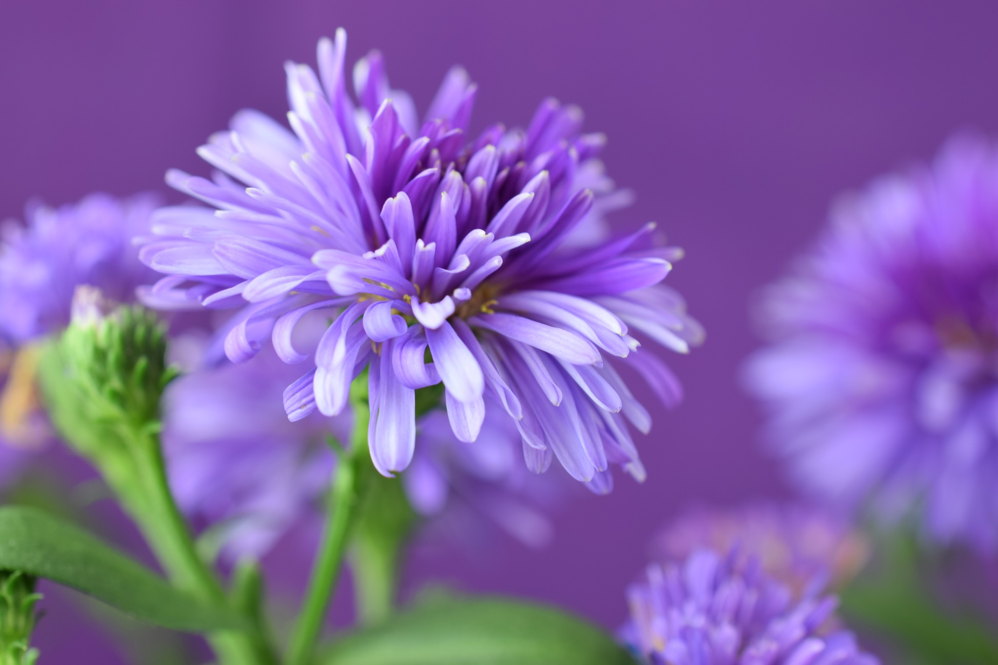 Aster victoria IVIVIVIVIVV  by Theresia Buskas