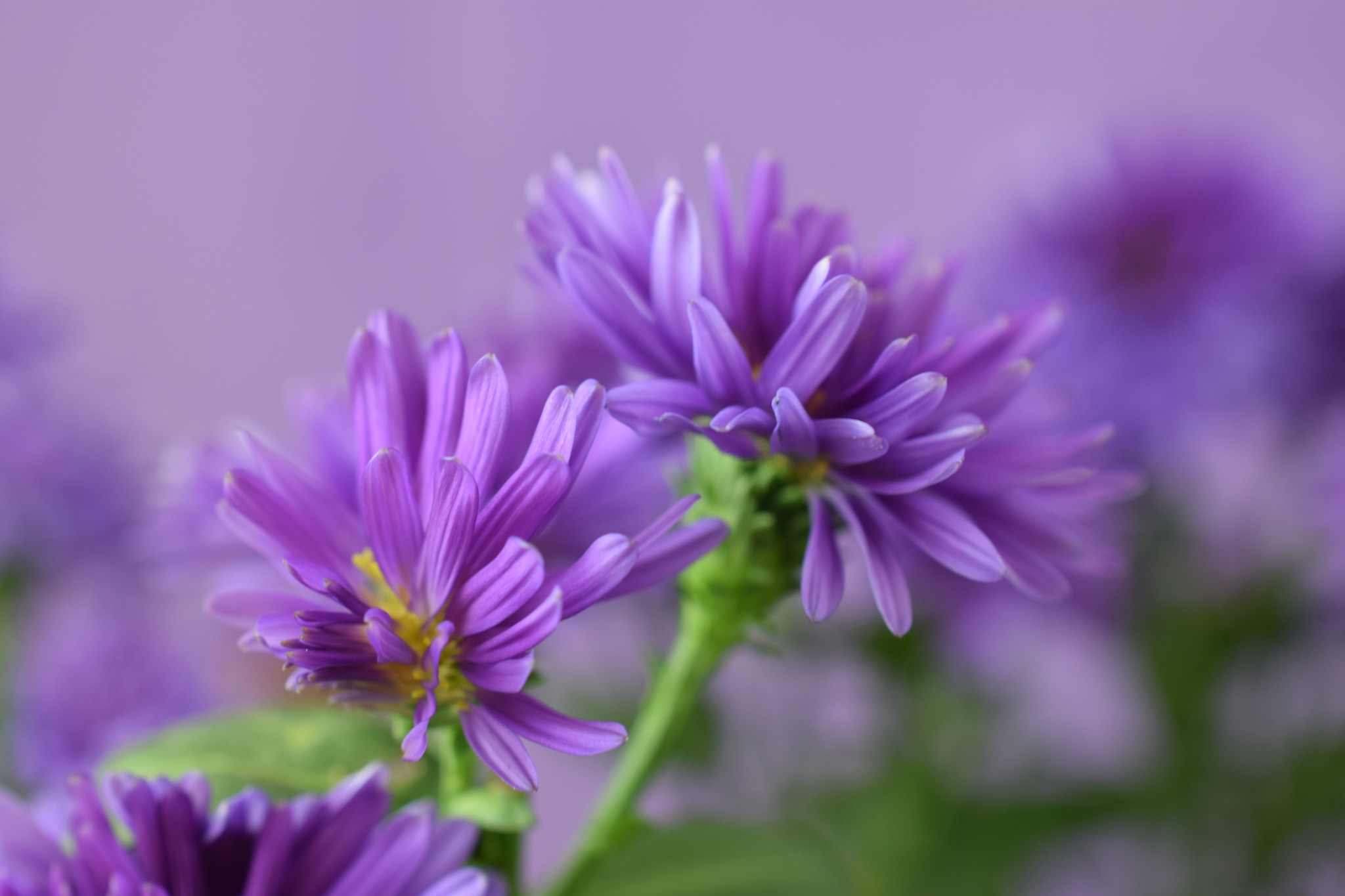 Aster victoria by Theresia Buskas