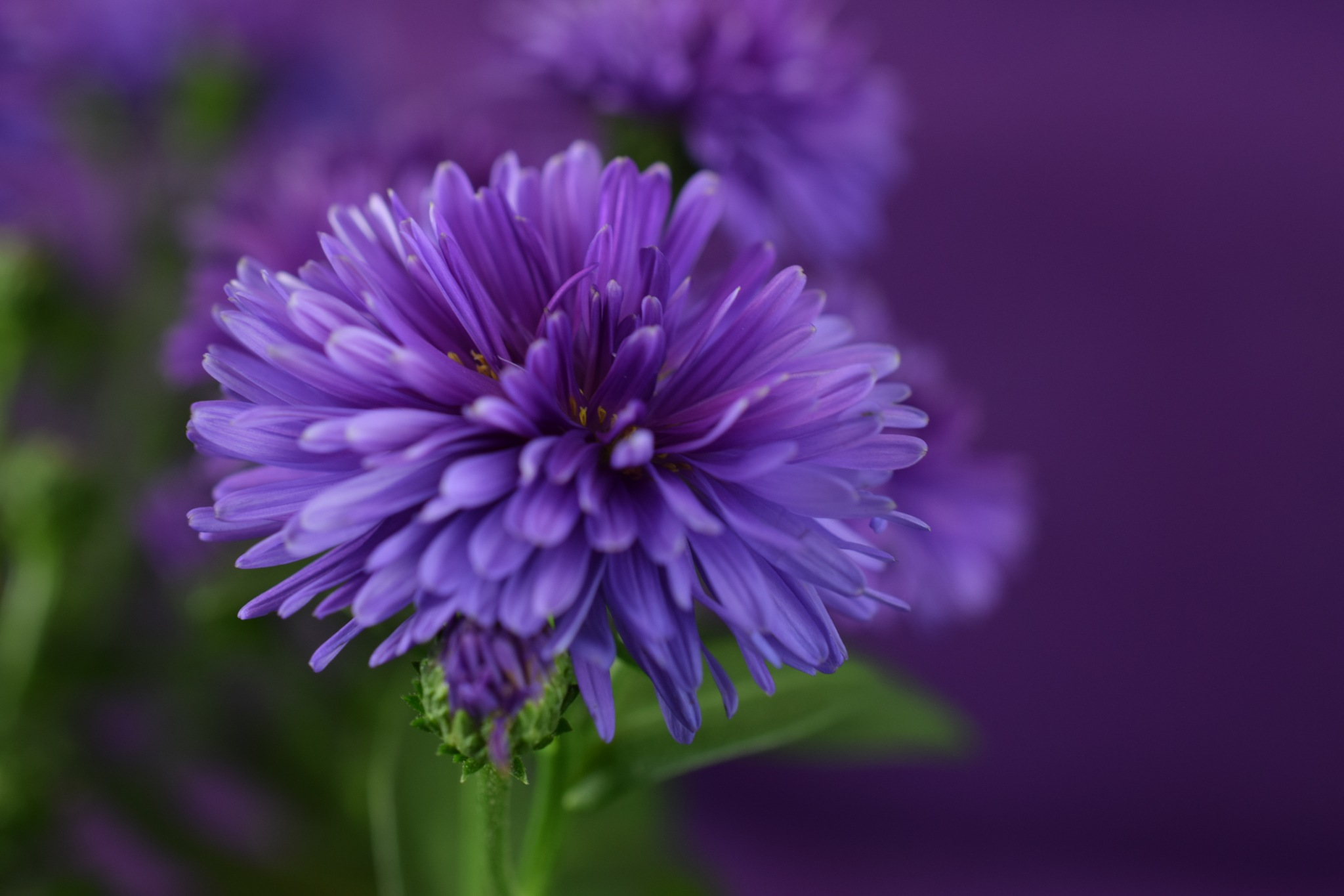 Aster flower victoria by Theresia Buskas