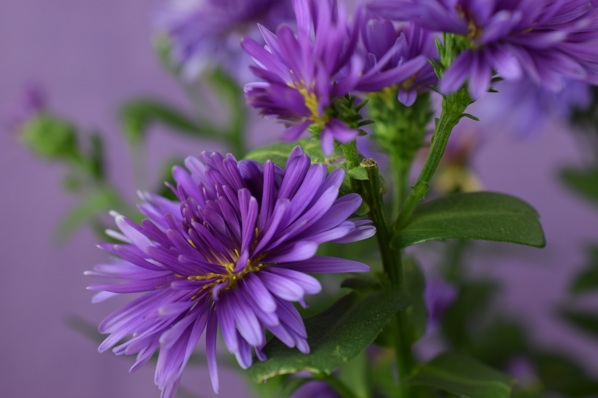Aster victoria flower 102 by Theresia Buskas