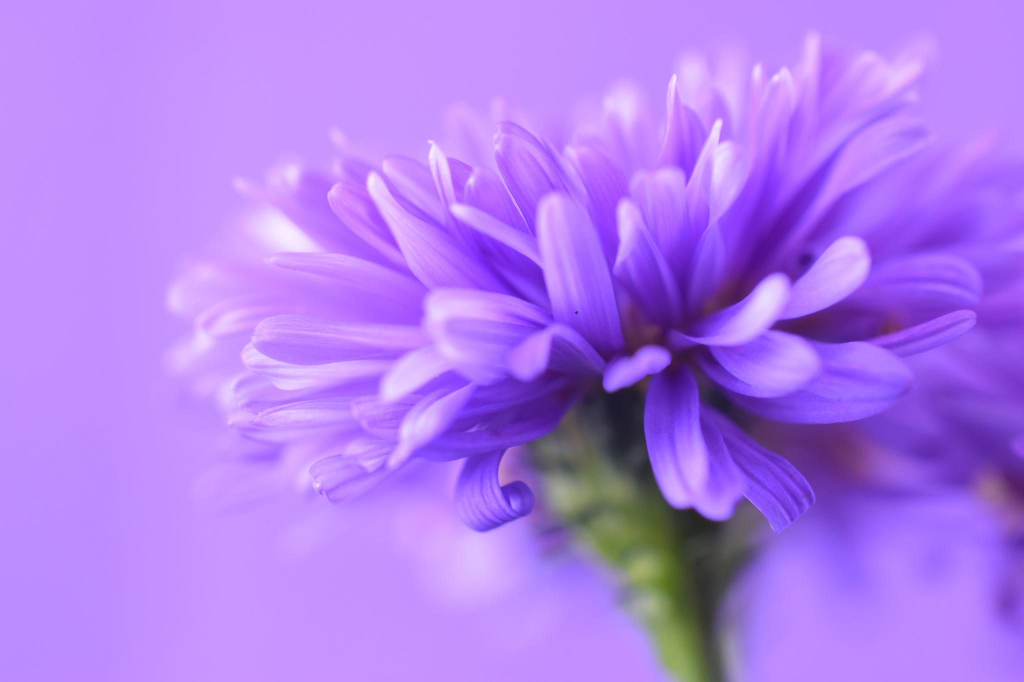 Aster victoria flower VIXIIVIIIII by Theresia Buskas