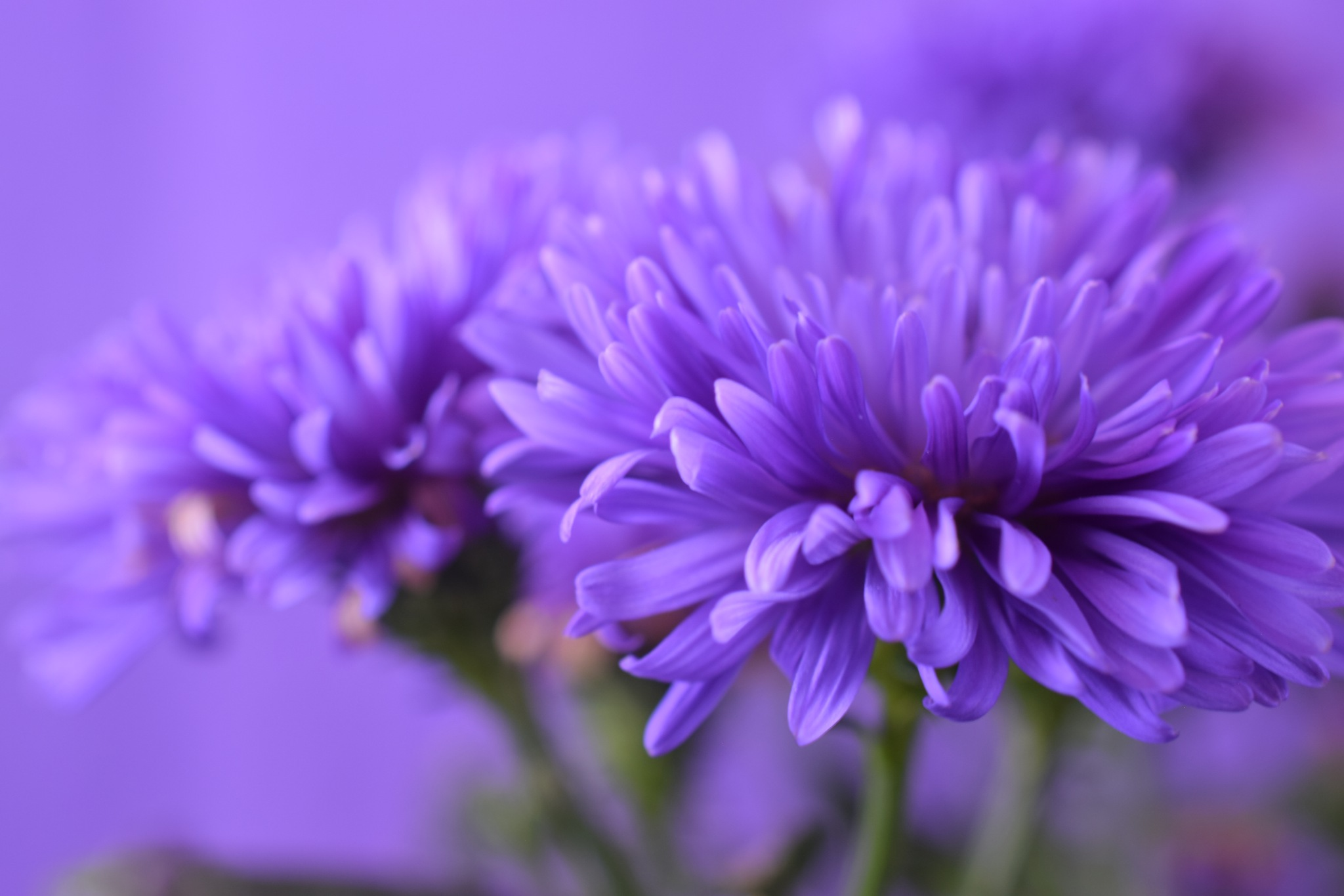 Aster victoria blomma  by Theresia Buskas