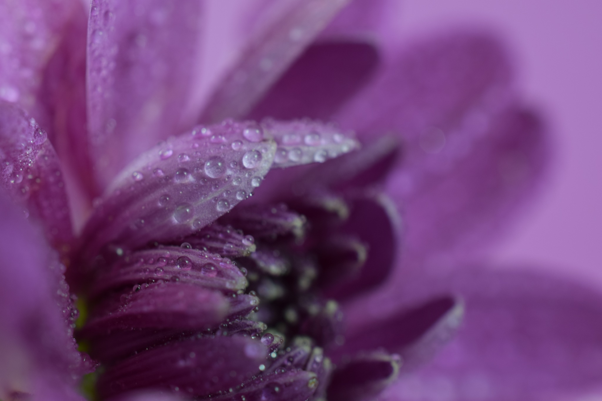 Chrysanthemum with droplets by Theresia Buskas