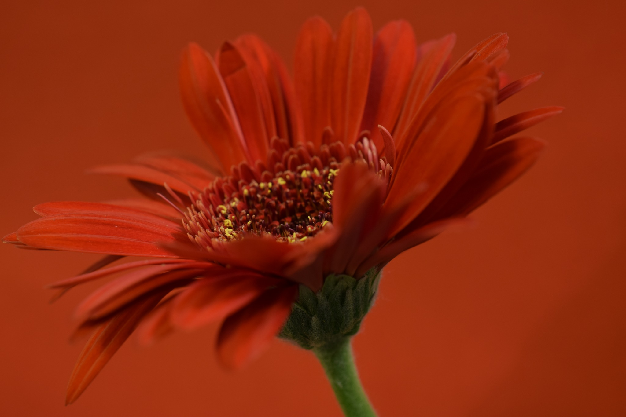 Red germini flower by Theresia Buskas