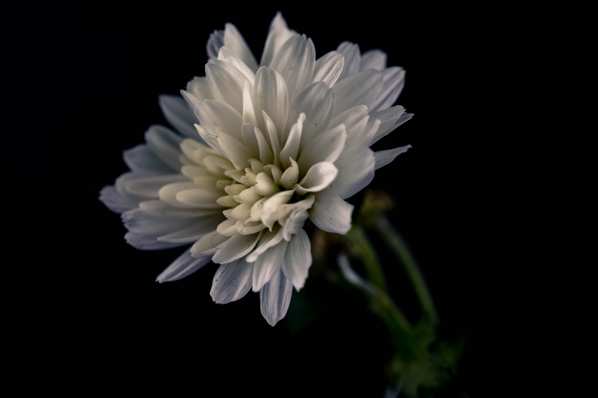 white dahlia flower by Theresia Buskas