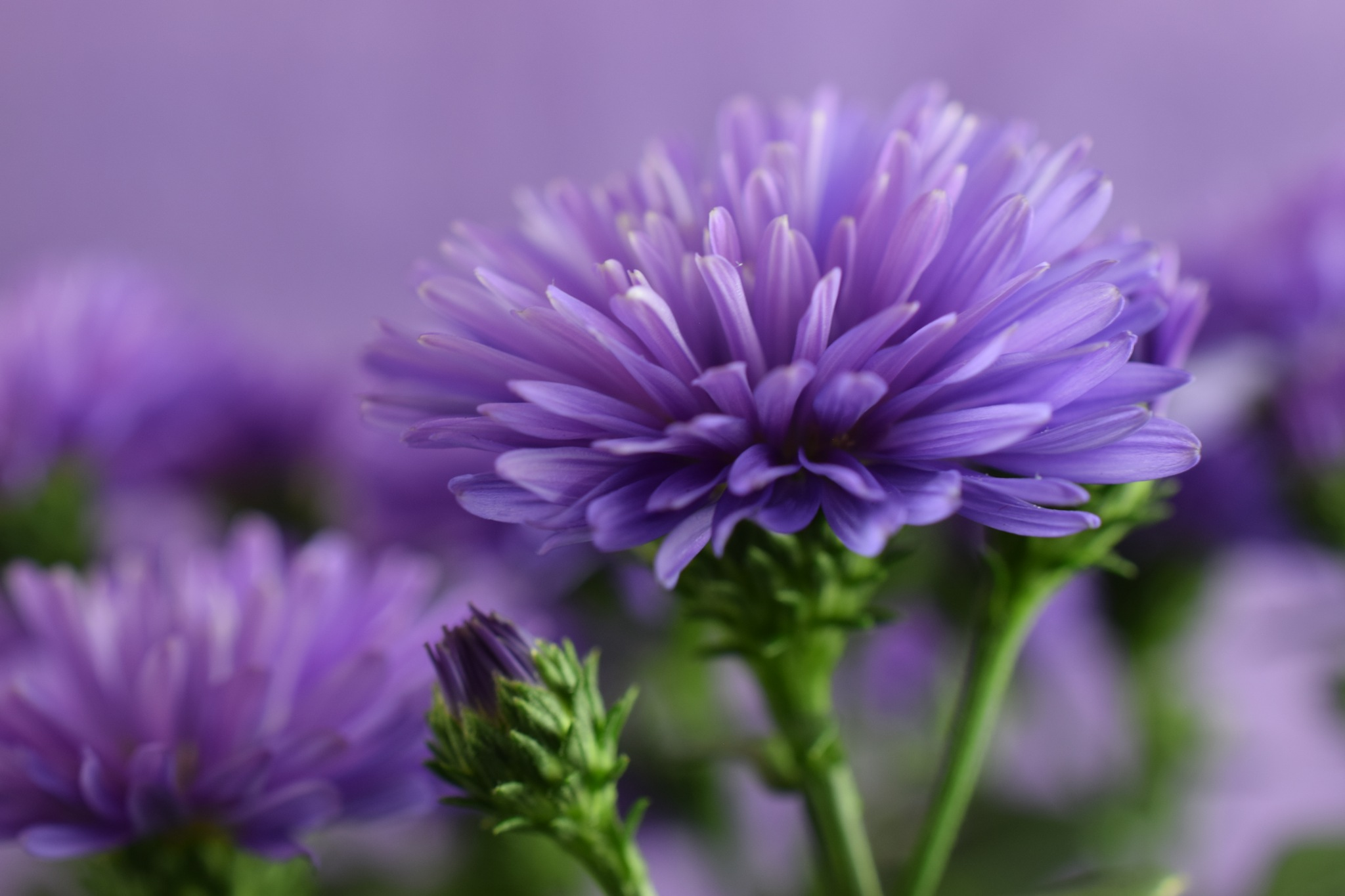Aster flower power by Theresia Buskas