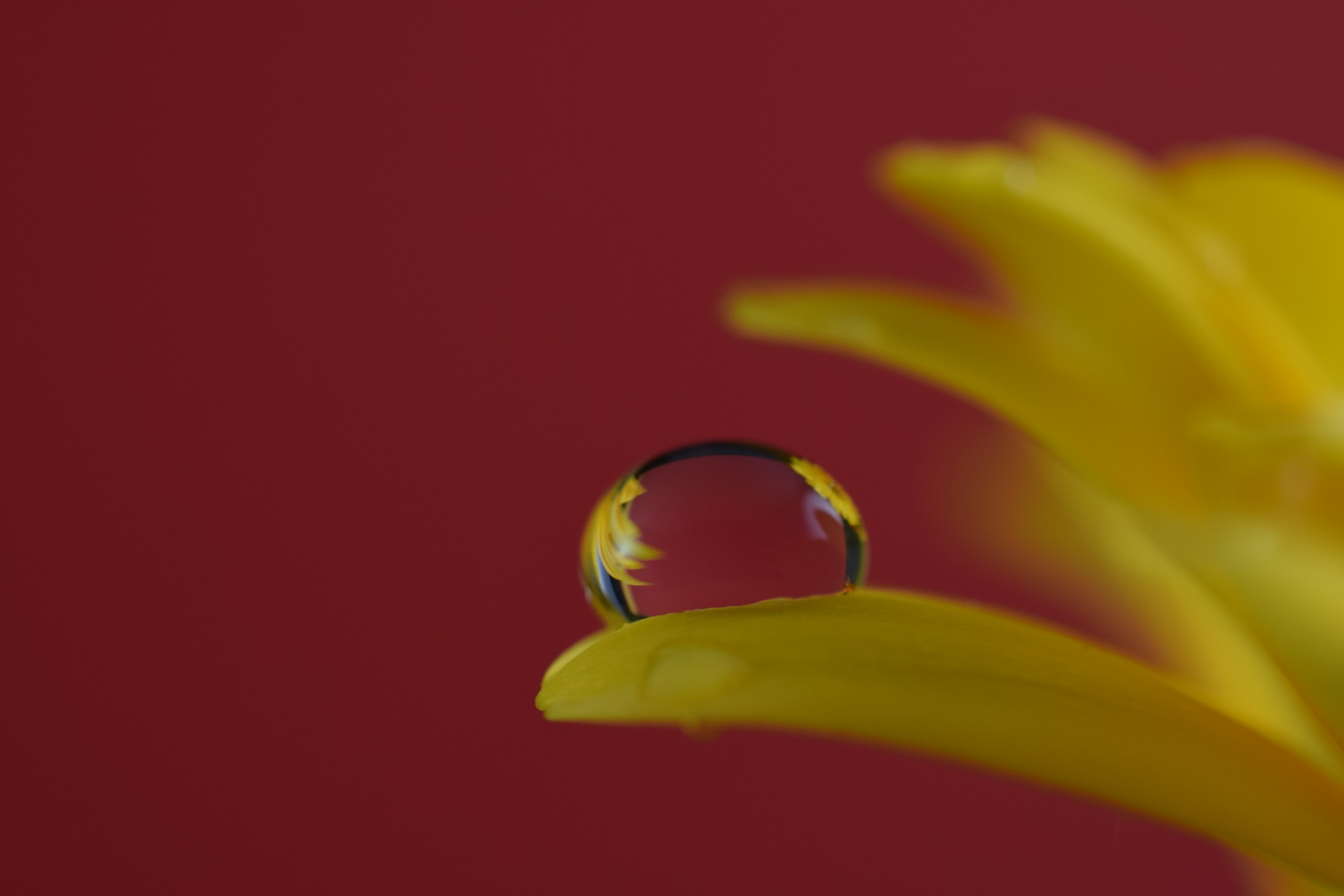 One drop on yellow germini flower by Theresia Buskas