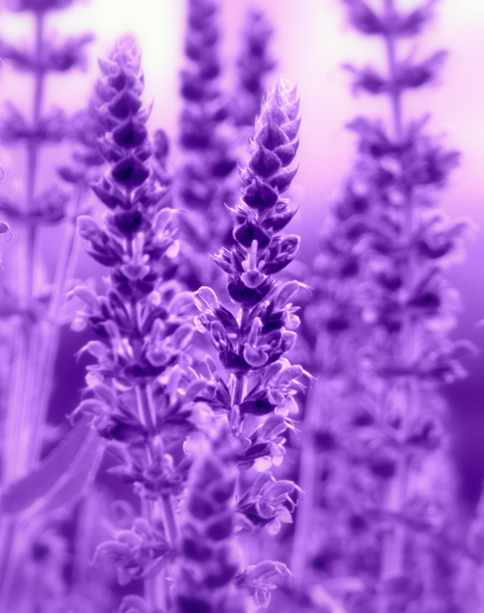 Lavendel  by Andrea Schloter