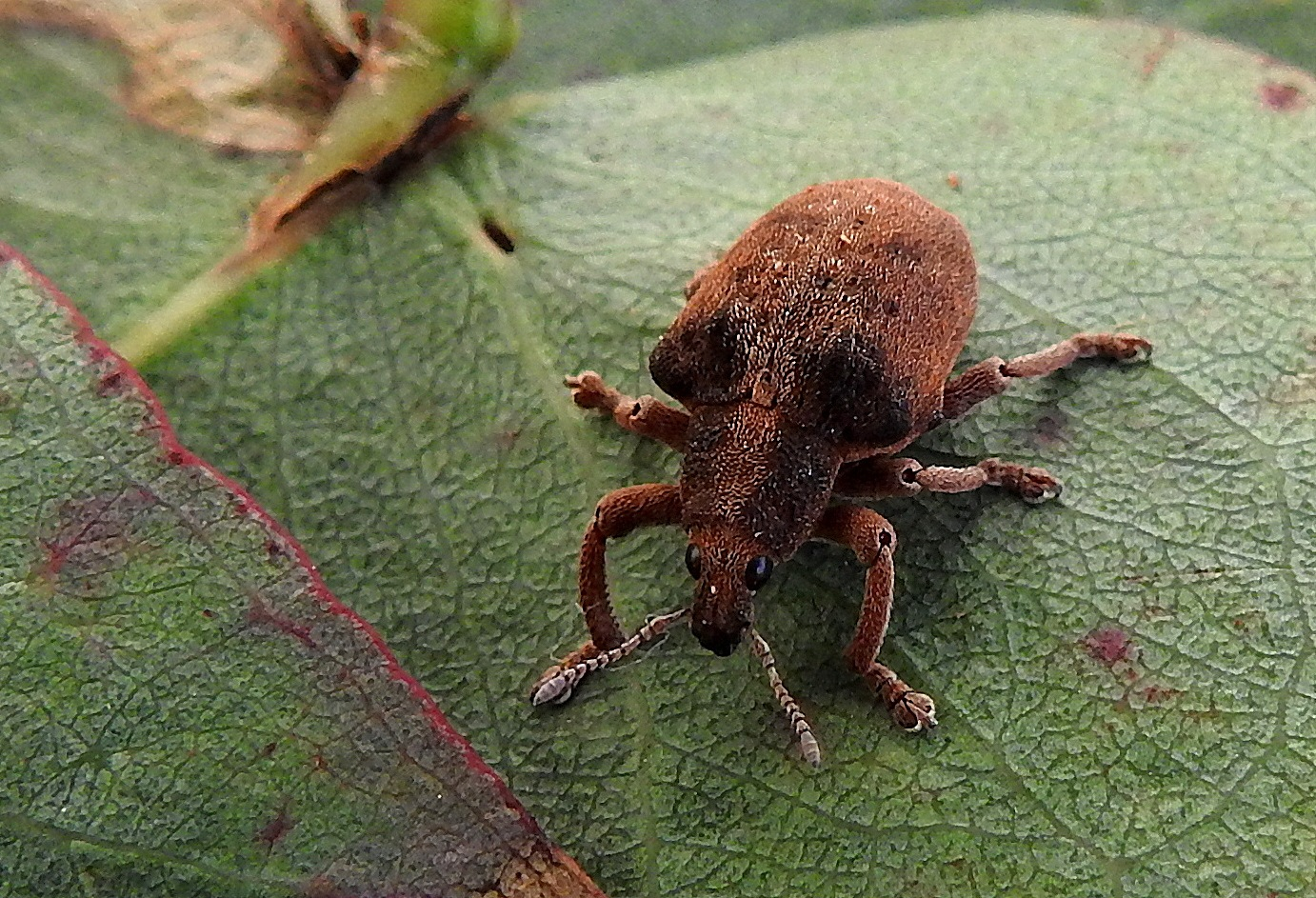 Tiny Gum Tree Weevil by PeterE
