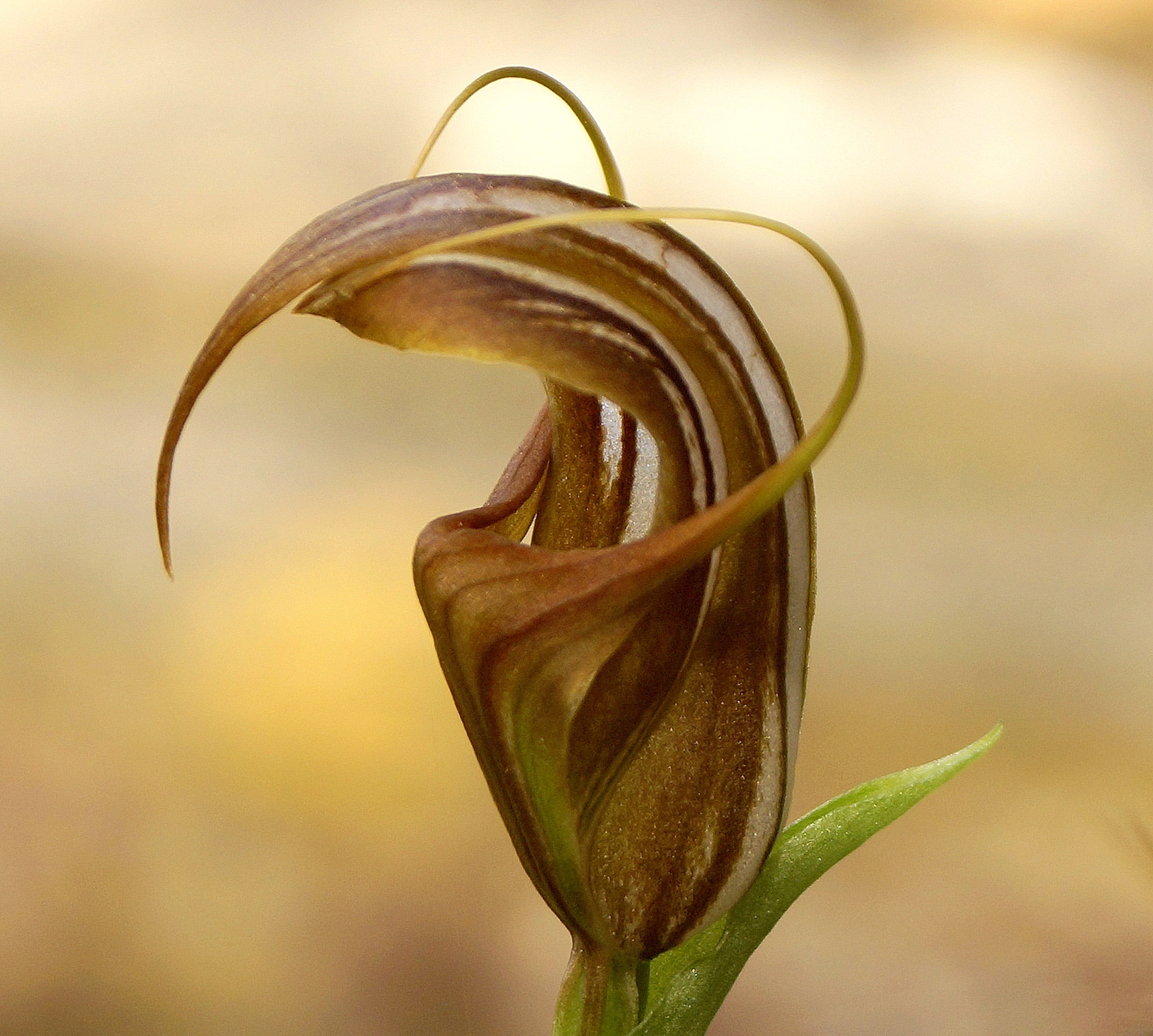 Terrestrial Orchid  by PeterE