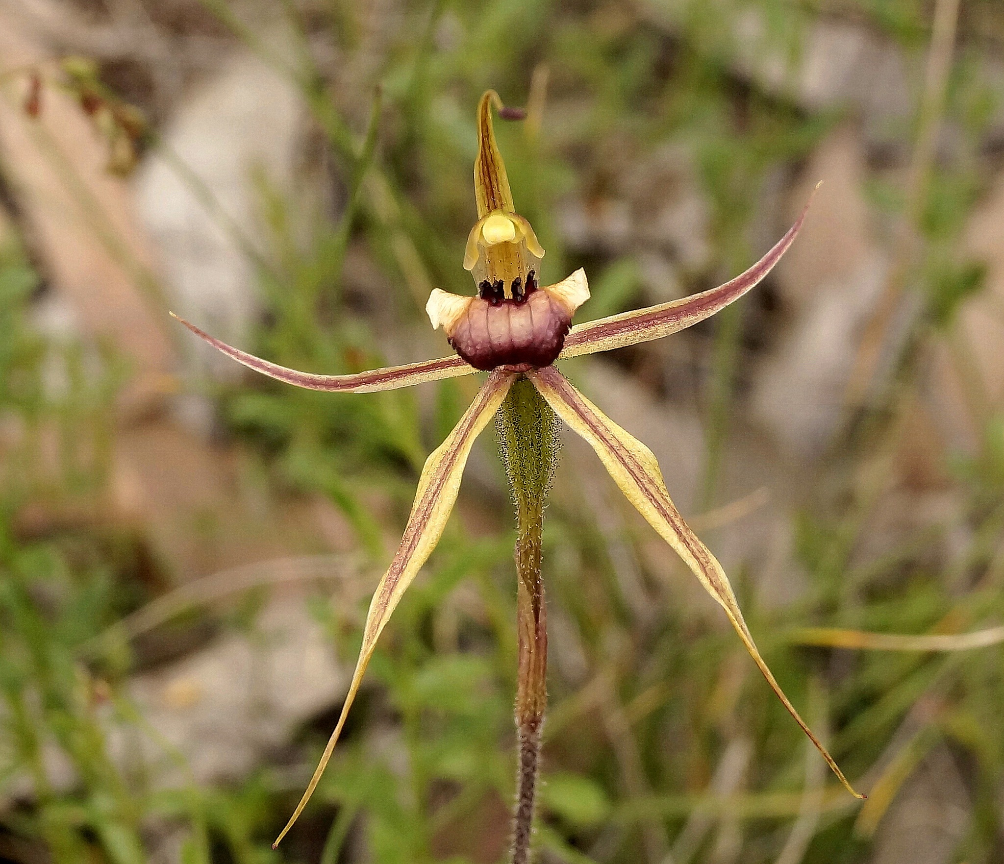 Clubbed Spider Orchid by PeterE