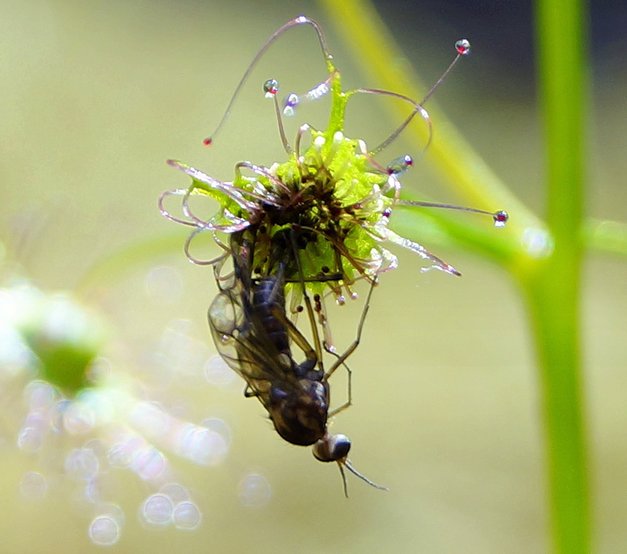 Sundew with captured insect  by PeterE