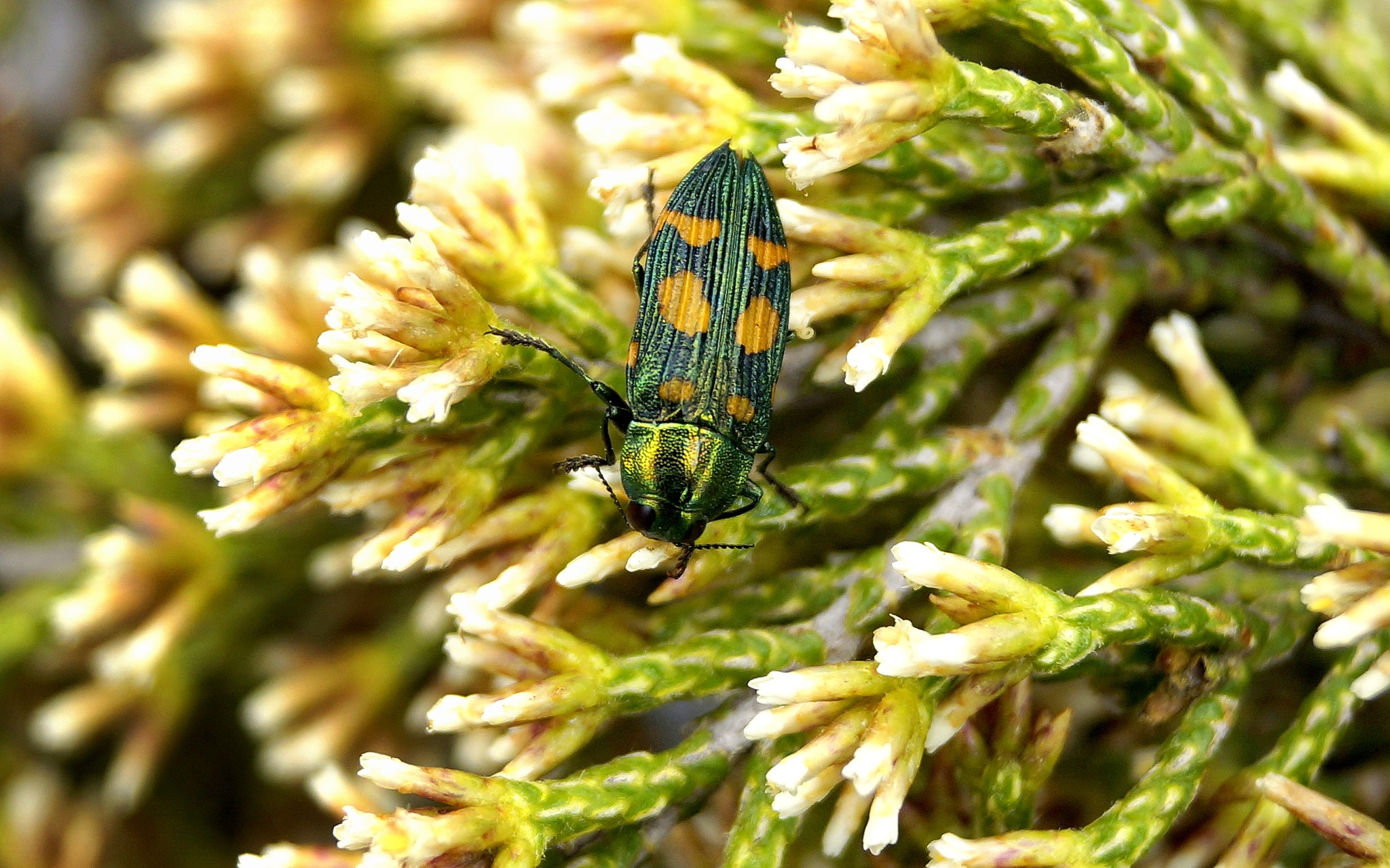Miena Jewel Beetle  by PeterE