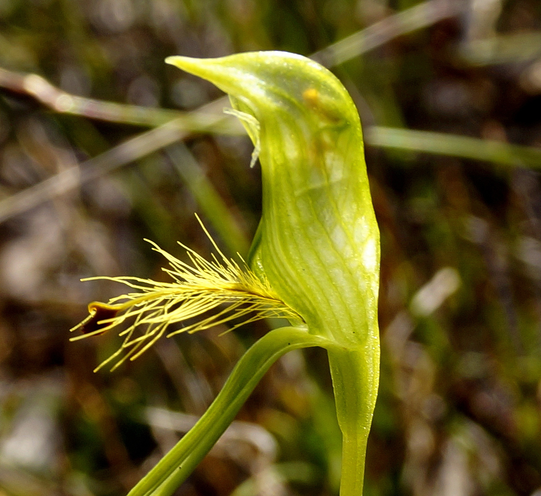 Bearded Greenhood Orchid - Pterostylis plumosa by PeterE
