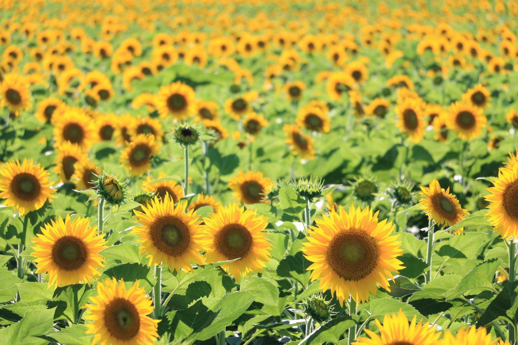 Sunflower field. by Ayumi Kosaka