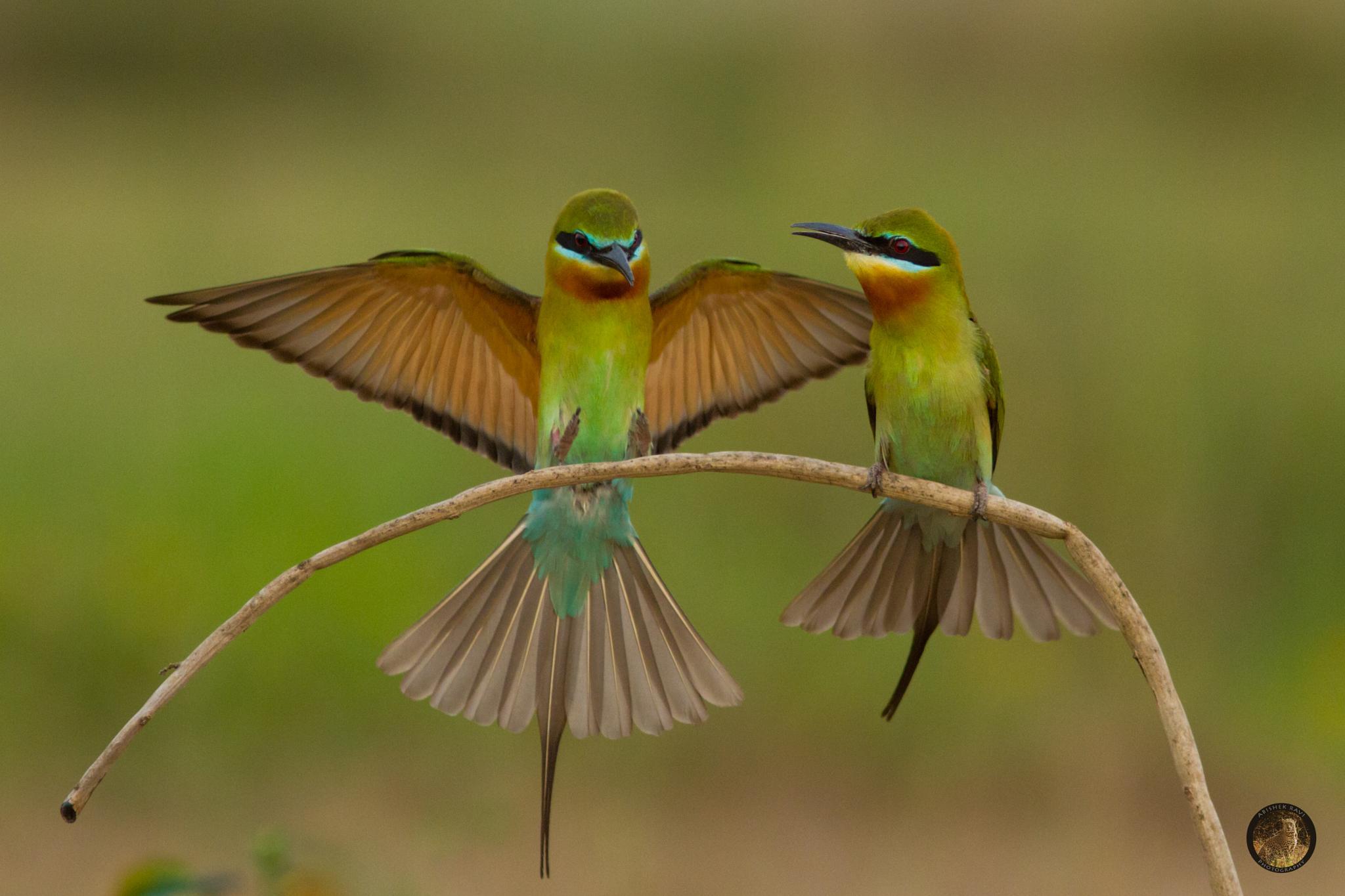 bee eaters by Abishek Ravi