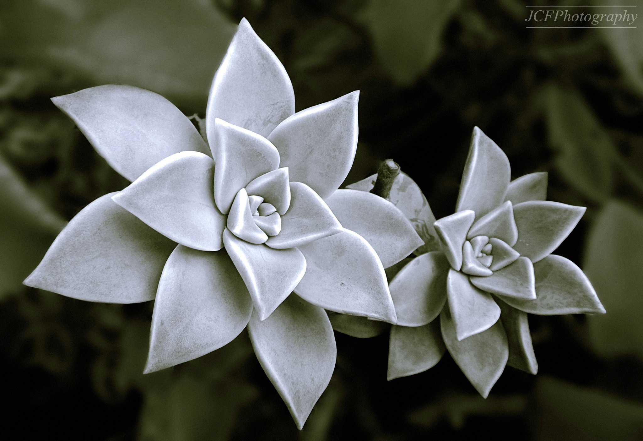 2 Succulents in Monochrome by JuanM