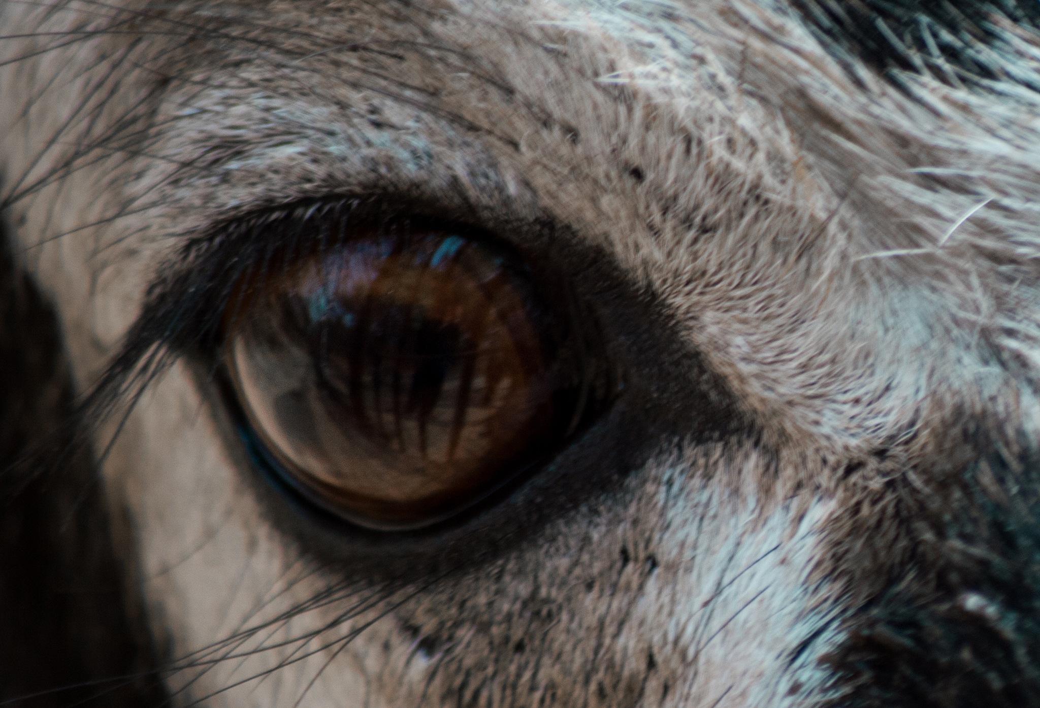 Blackbuck eye mirror by Omang Agarwal