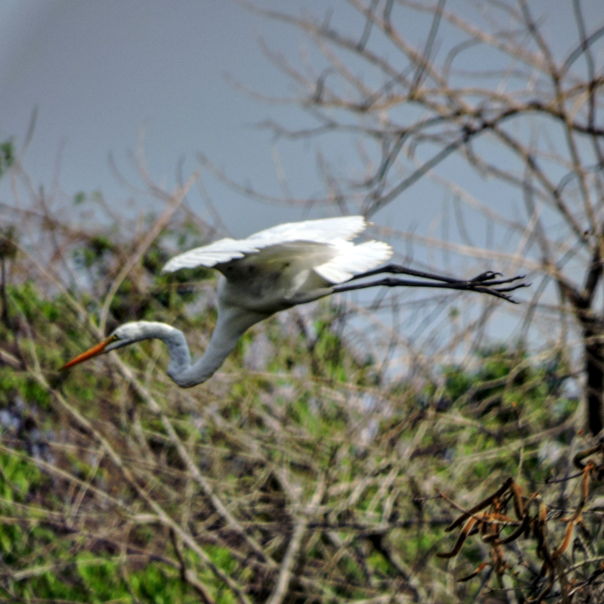 Egret fly by Dony Augusto - Hobo