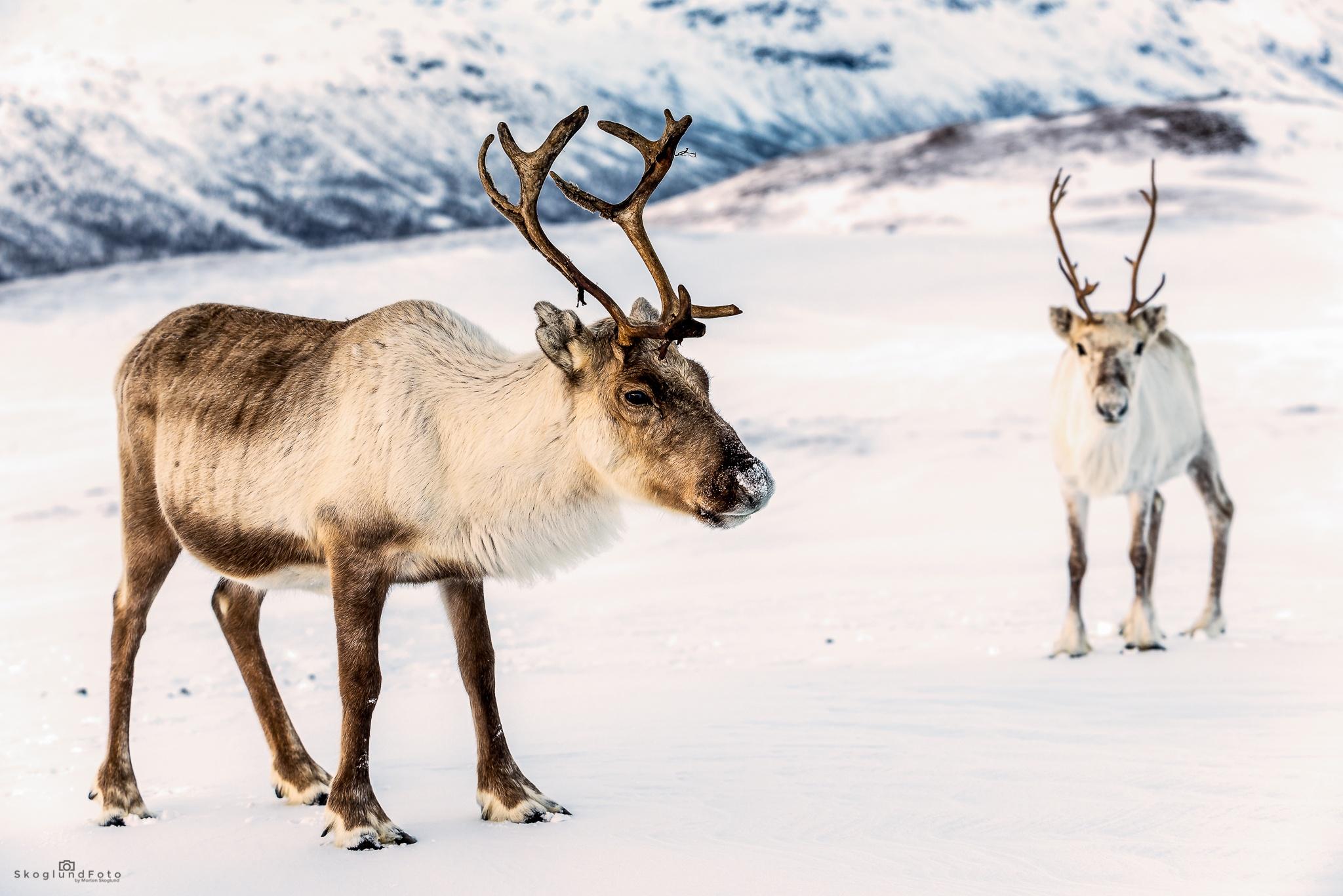 Reindeer by SkoglundFoto