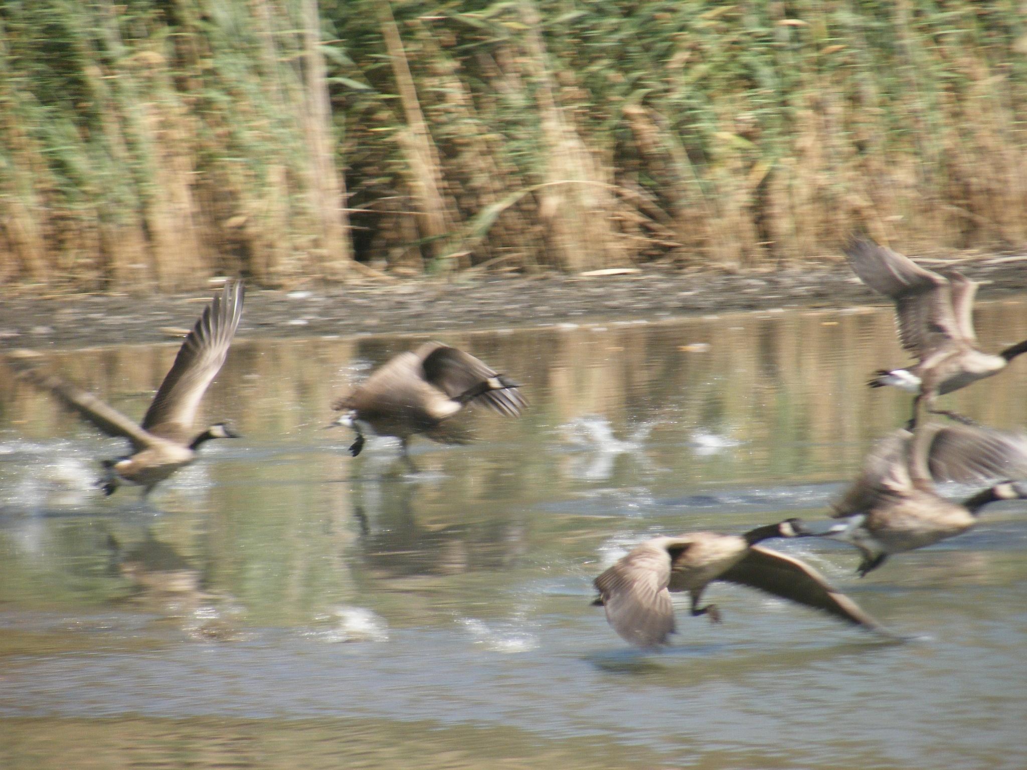 Ducks in Flight by Nicholas Small