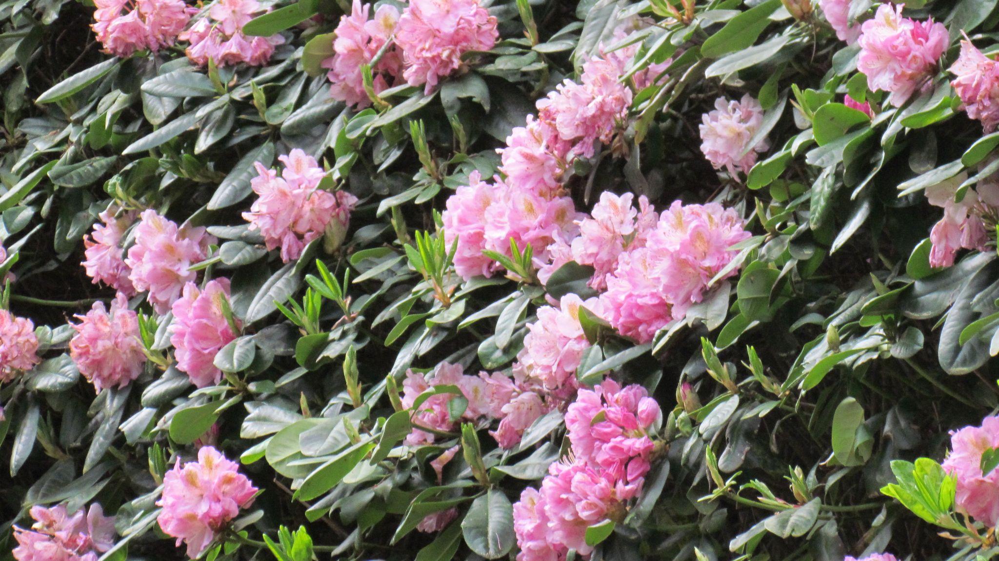 A full bloom by RivkaWaas