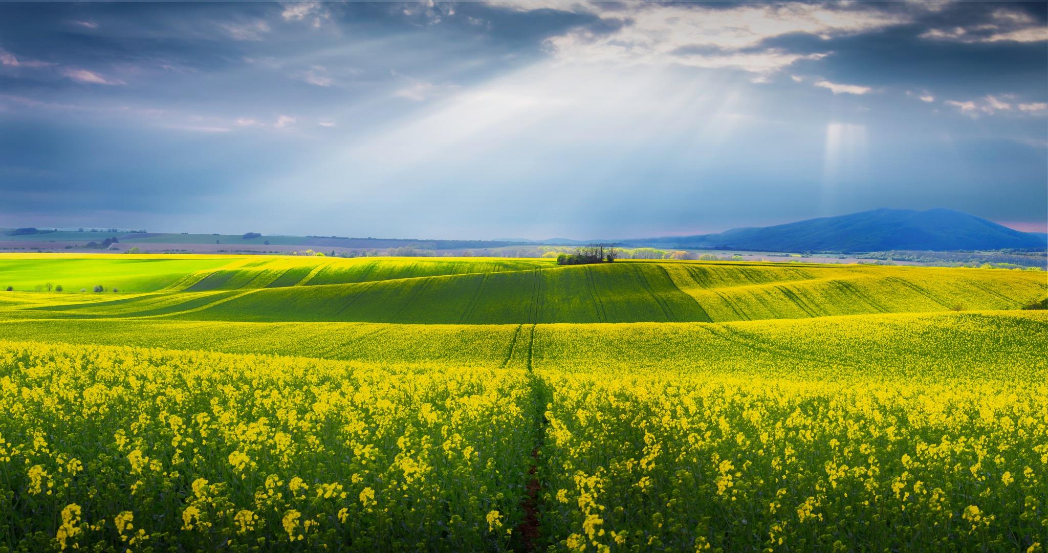 Yellow fields by JurajNovak