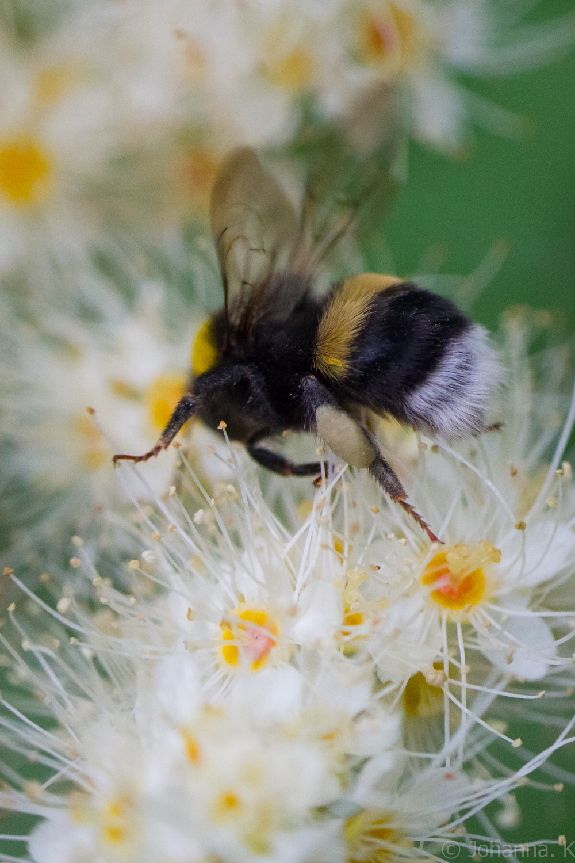bee bloom by Johanna