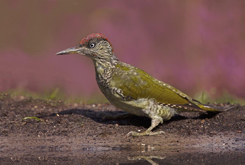 Green Woodpecker by KarinPeters