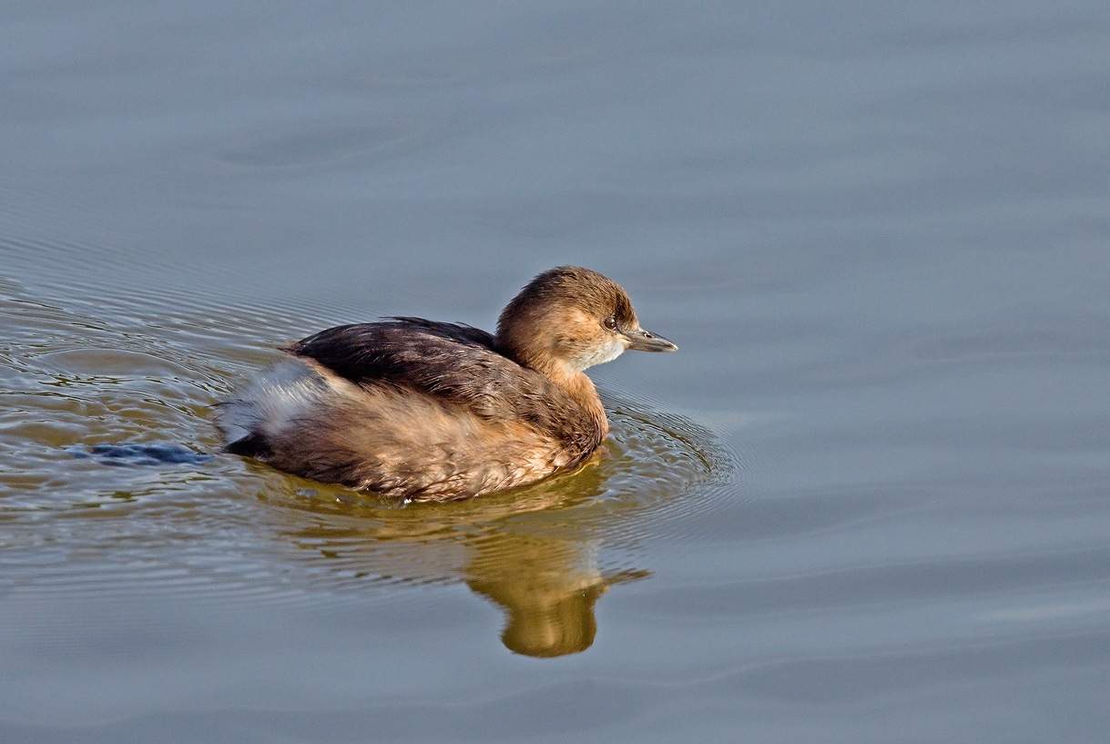 Little Grebe by KarinPeters
